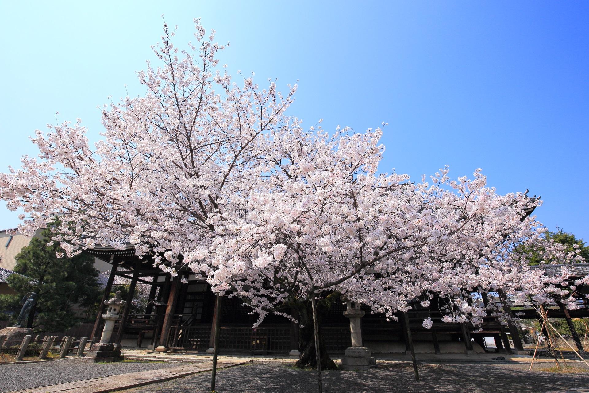 高画質 本法寺 桜 写真