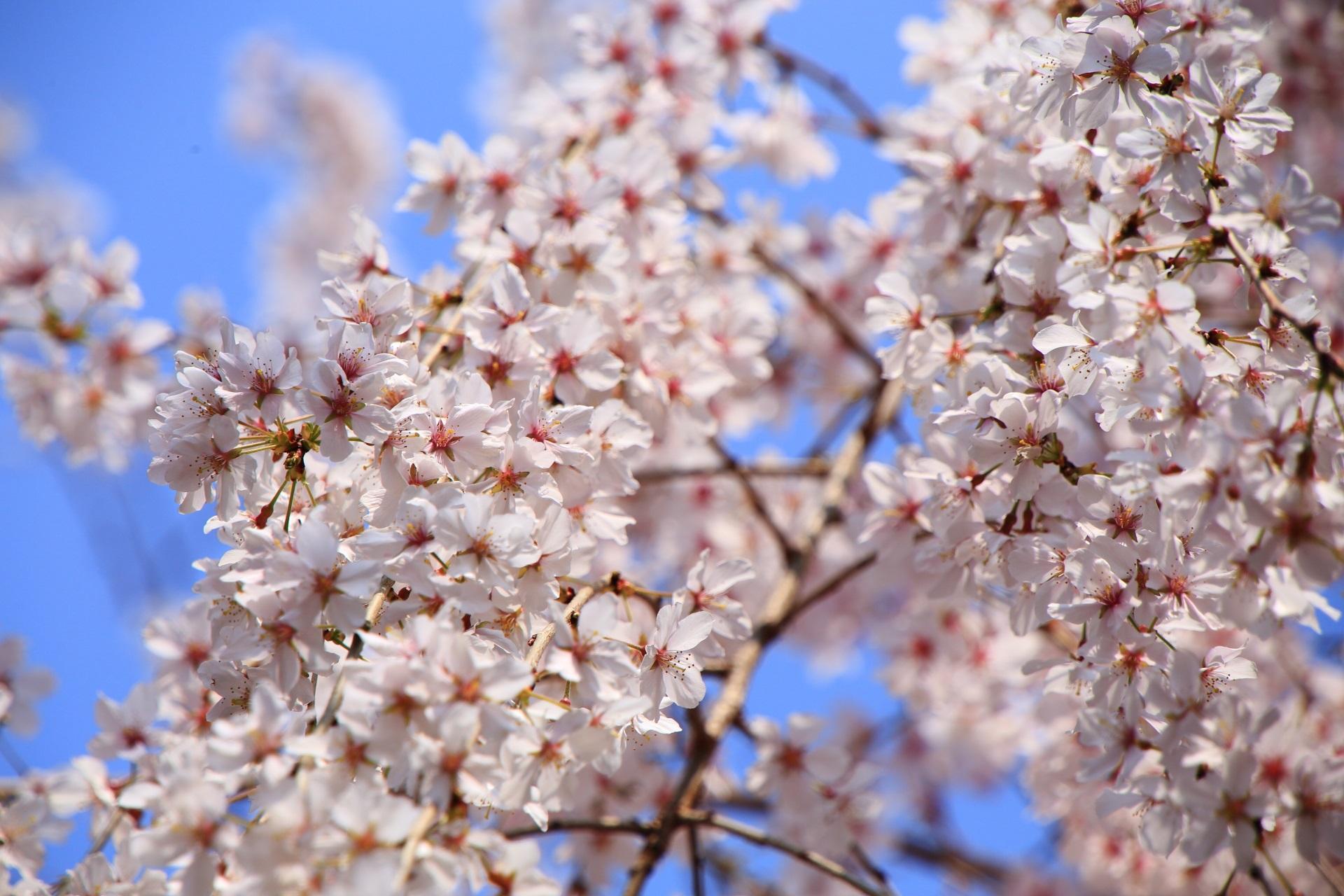 六角堂の青空の下で輝く桜
