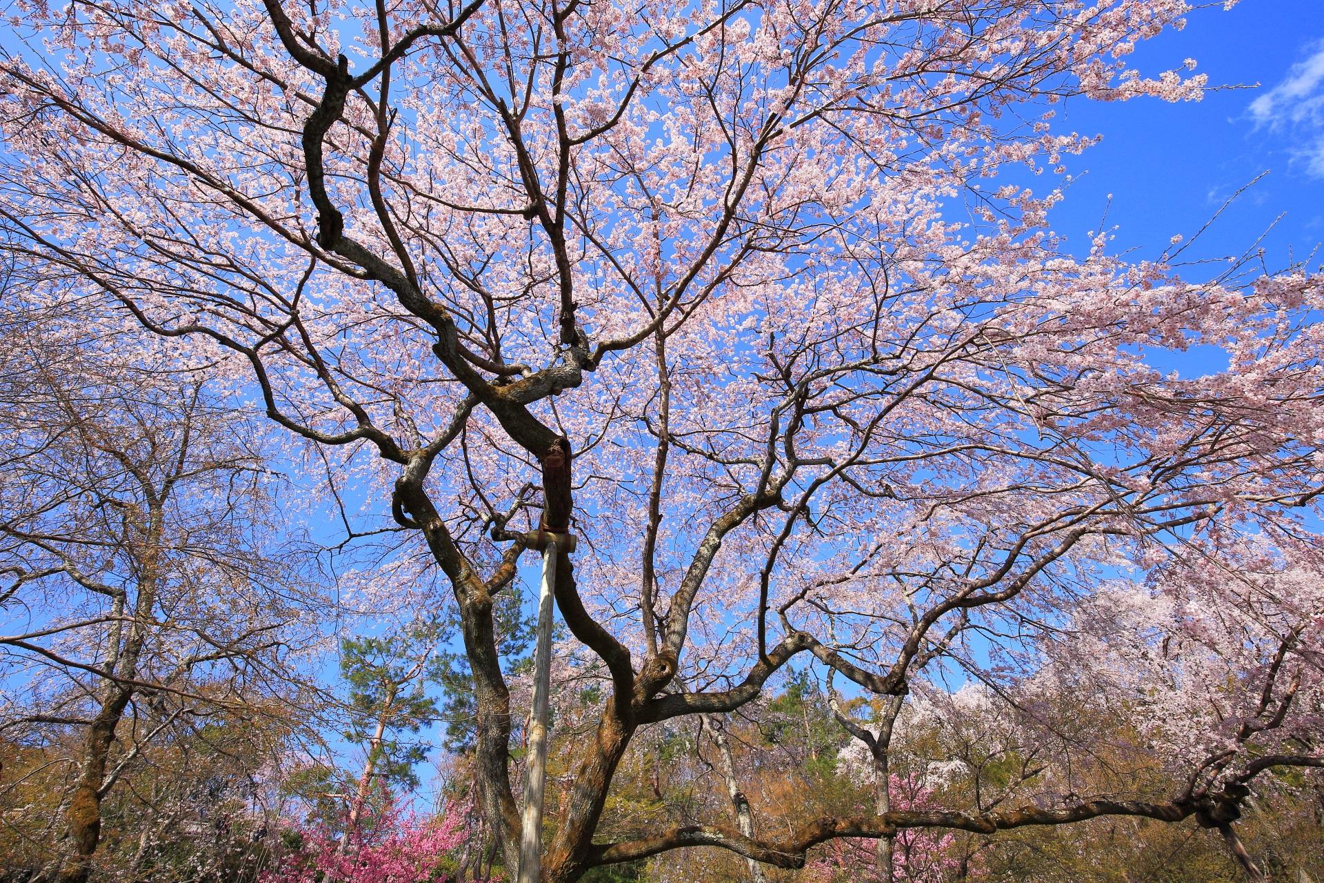 多宝殿横の空を覆う輝く桜