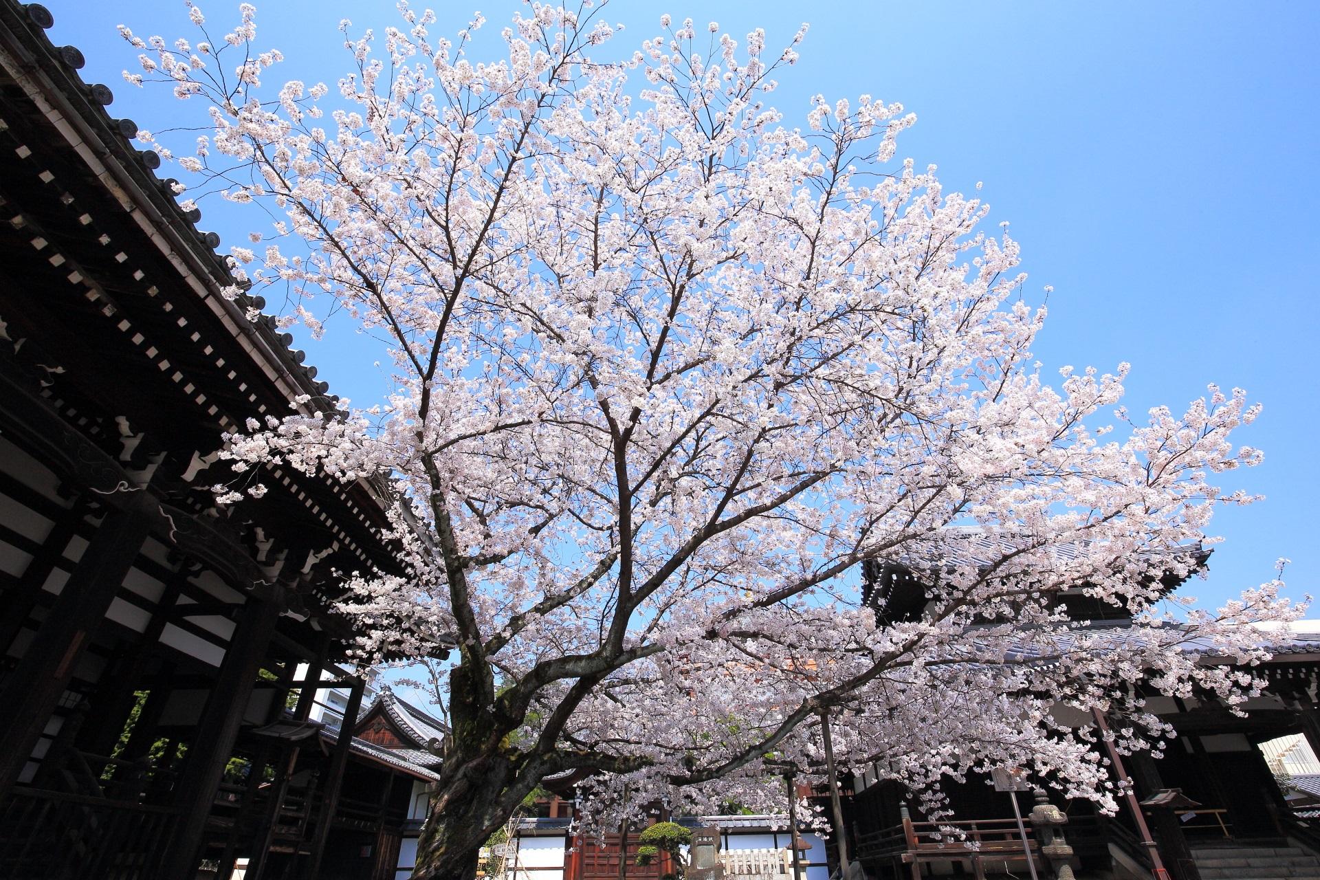 本法寺の青空で煌く見事な桜