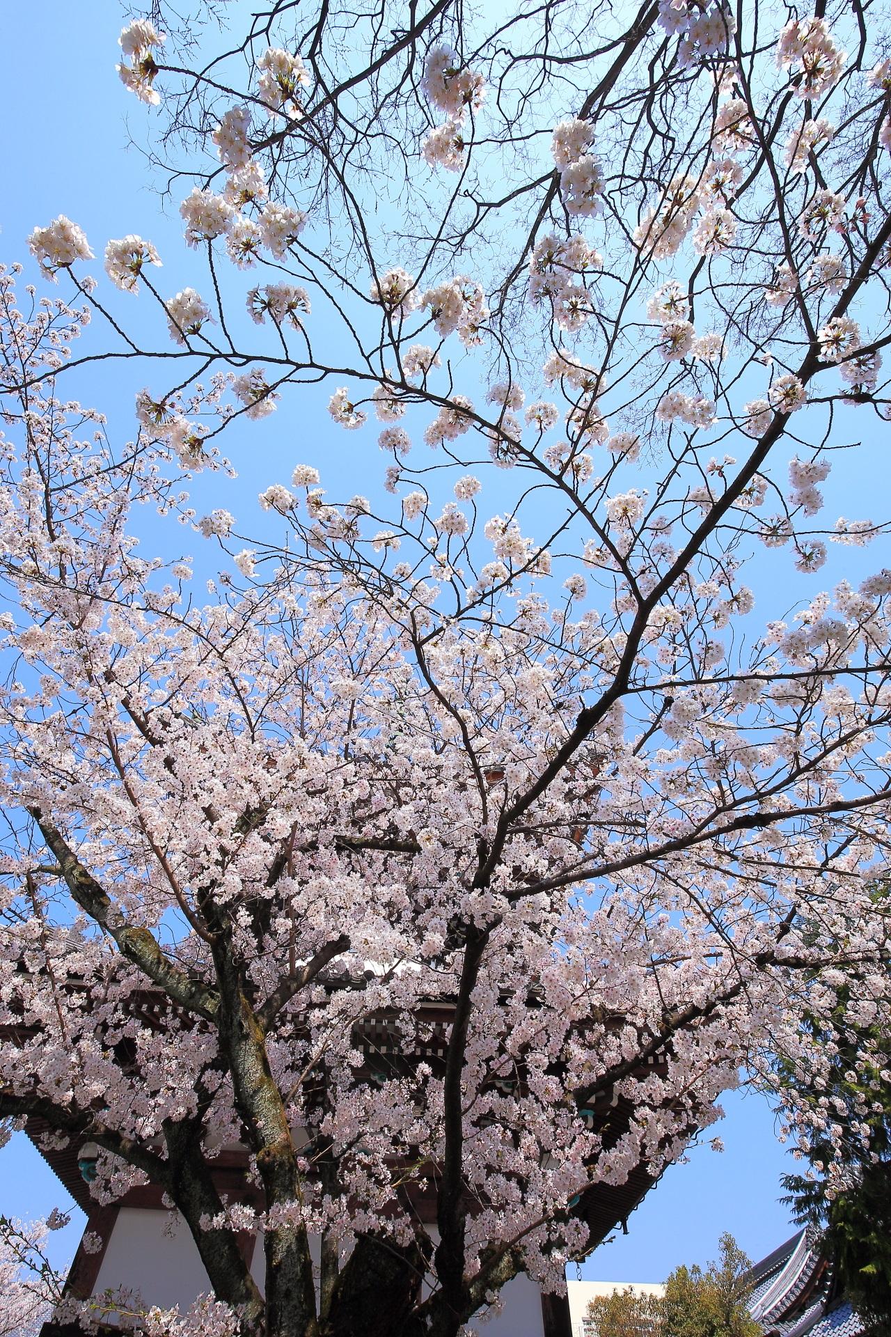 本法寺の多宝塔と雲一つない青空を彩る煌びやかな桜