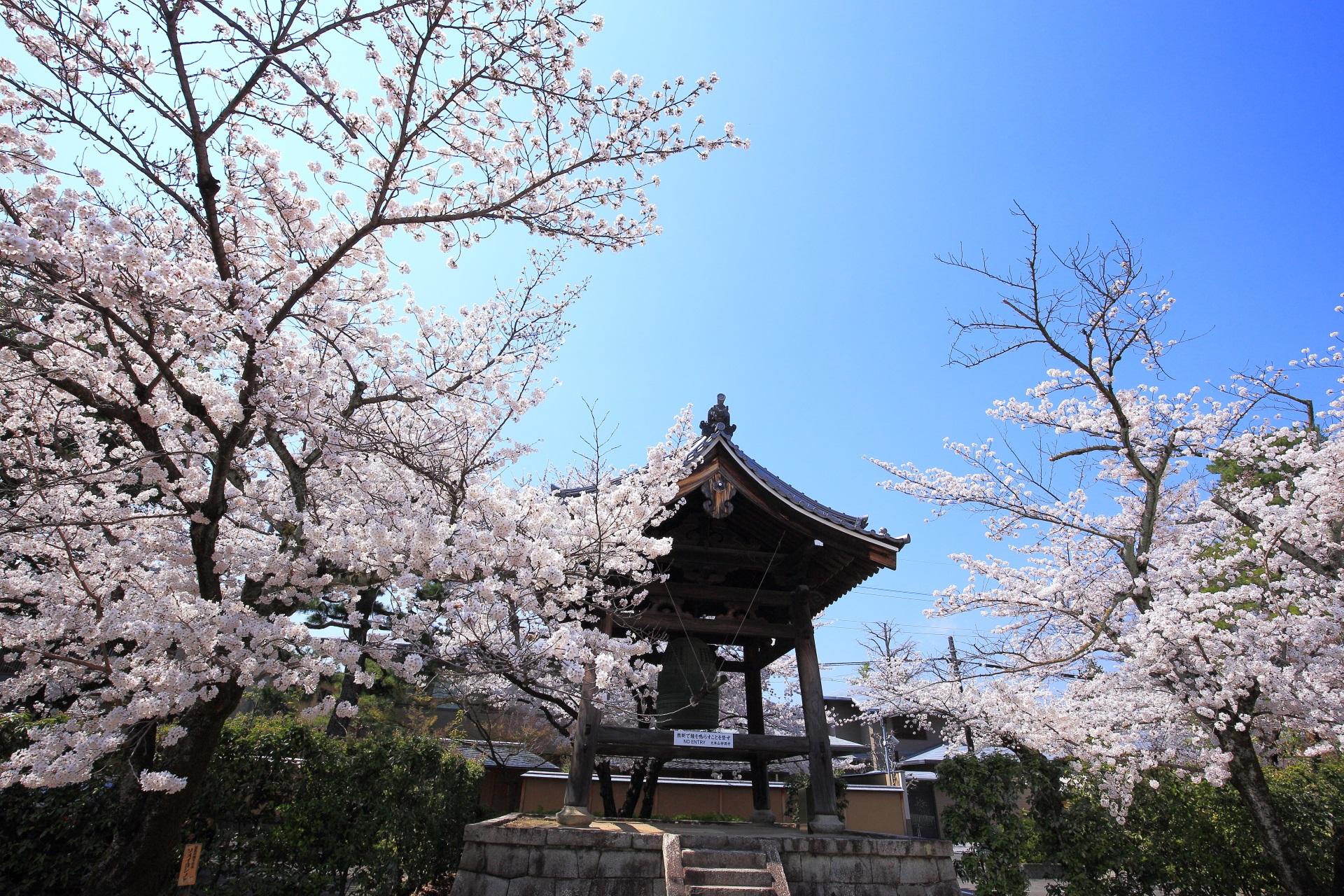妙顕寺の鐘楼付近の優雅な桜