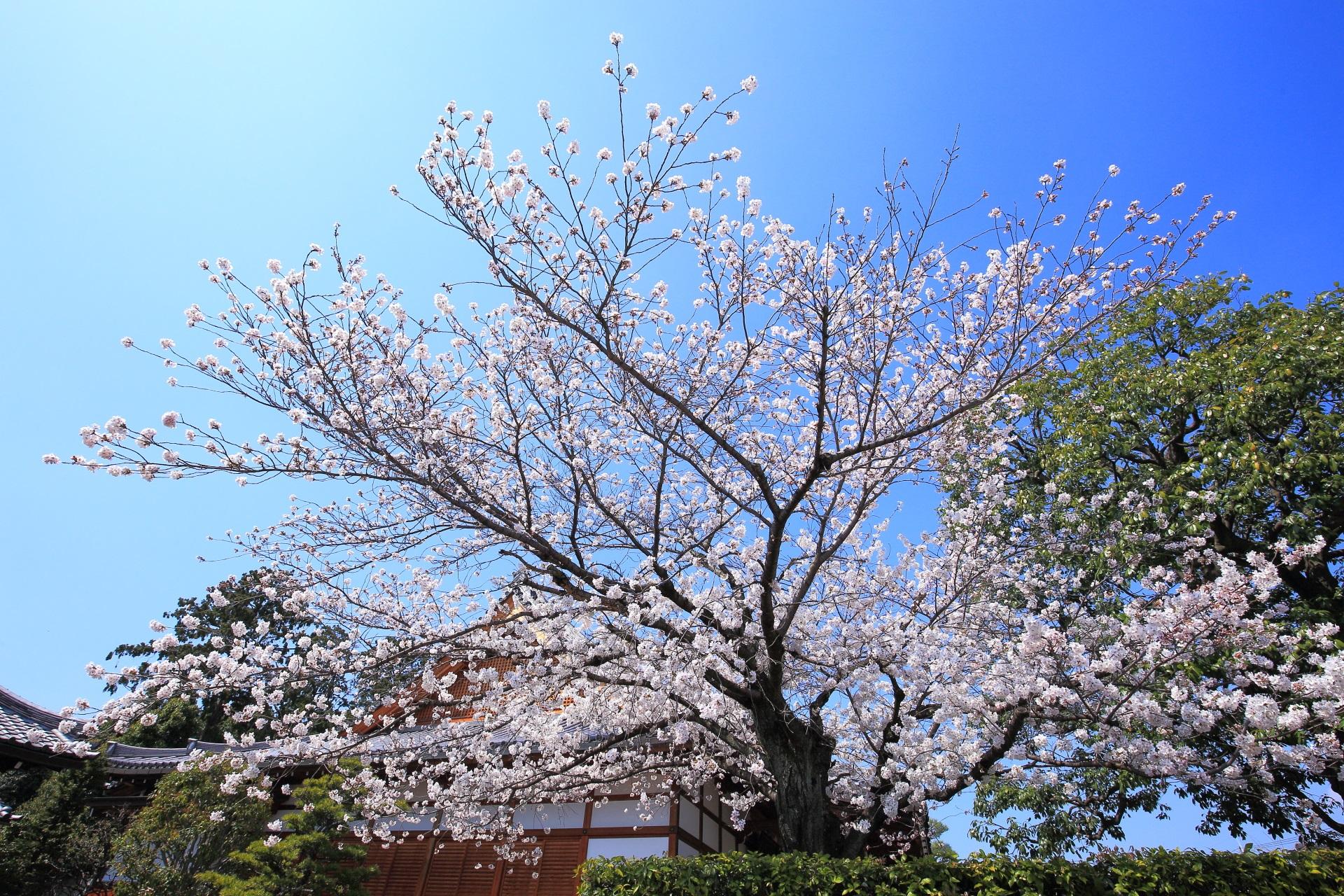 上品蓮台寺の青空に枝を広げて輝く桜