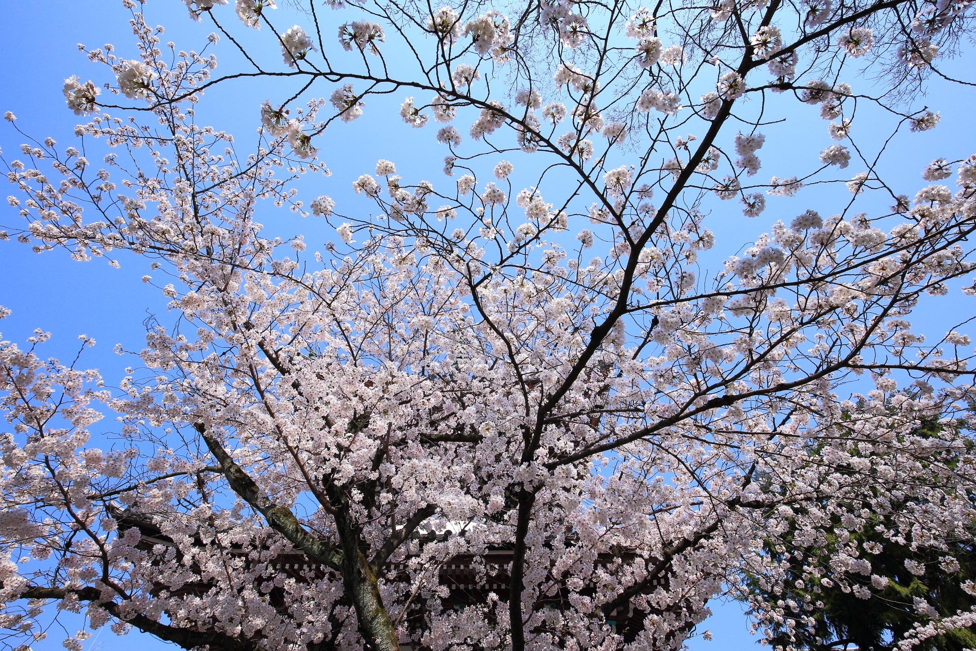本法寺の多宝塔と青空を染める輝く桜