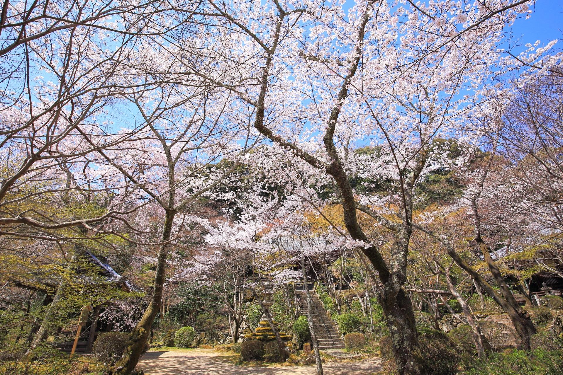 勝持寺の不動堂や鐘楼前の桜