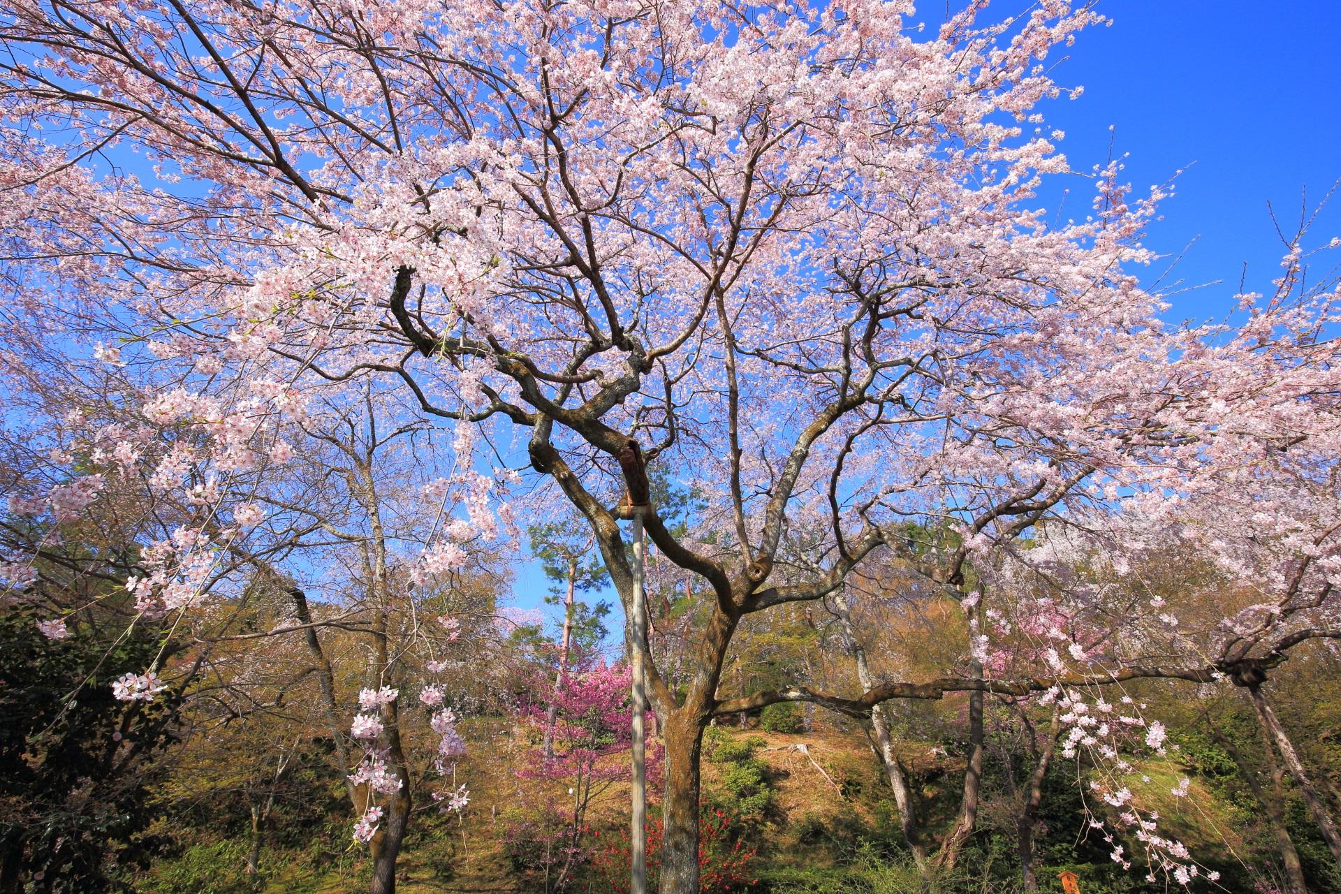 天龍寺の雲一つない青空から降り注ぐピンクの桜のシャワー