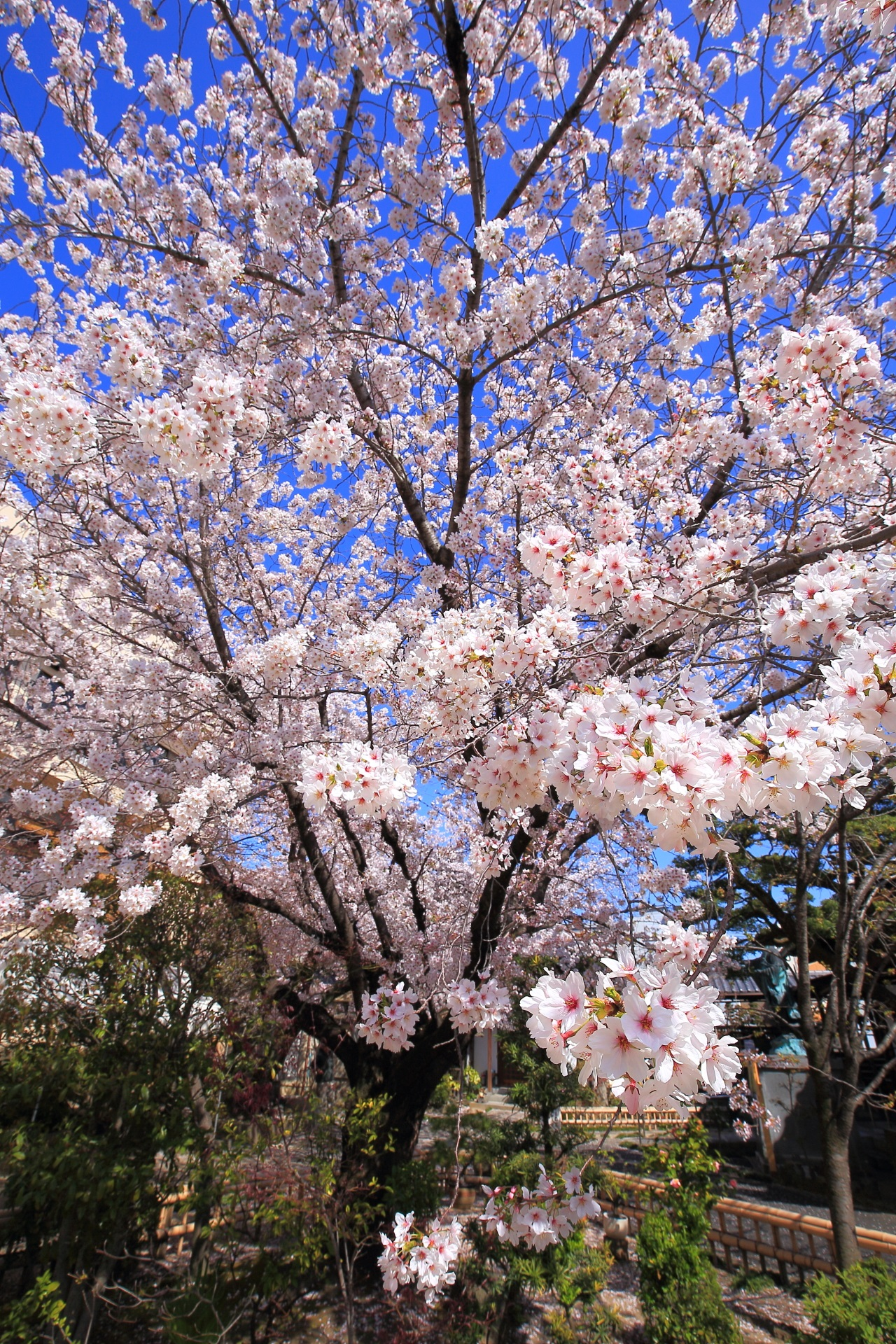 高画質 墨染桜 写真 墨染寺