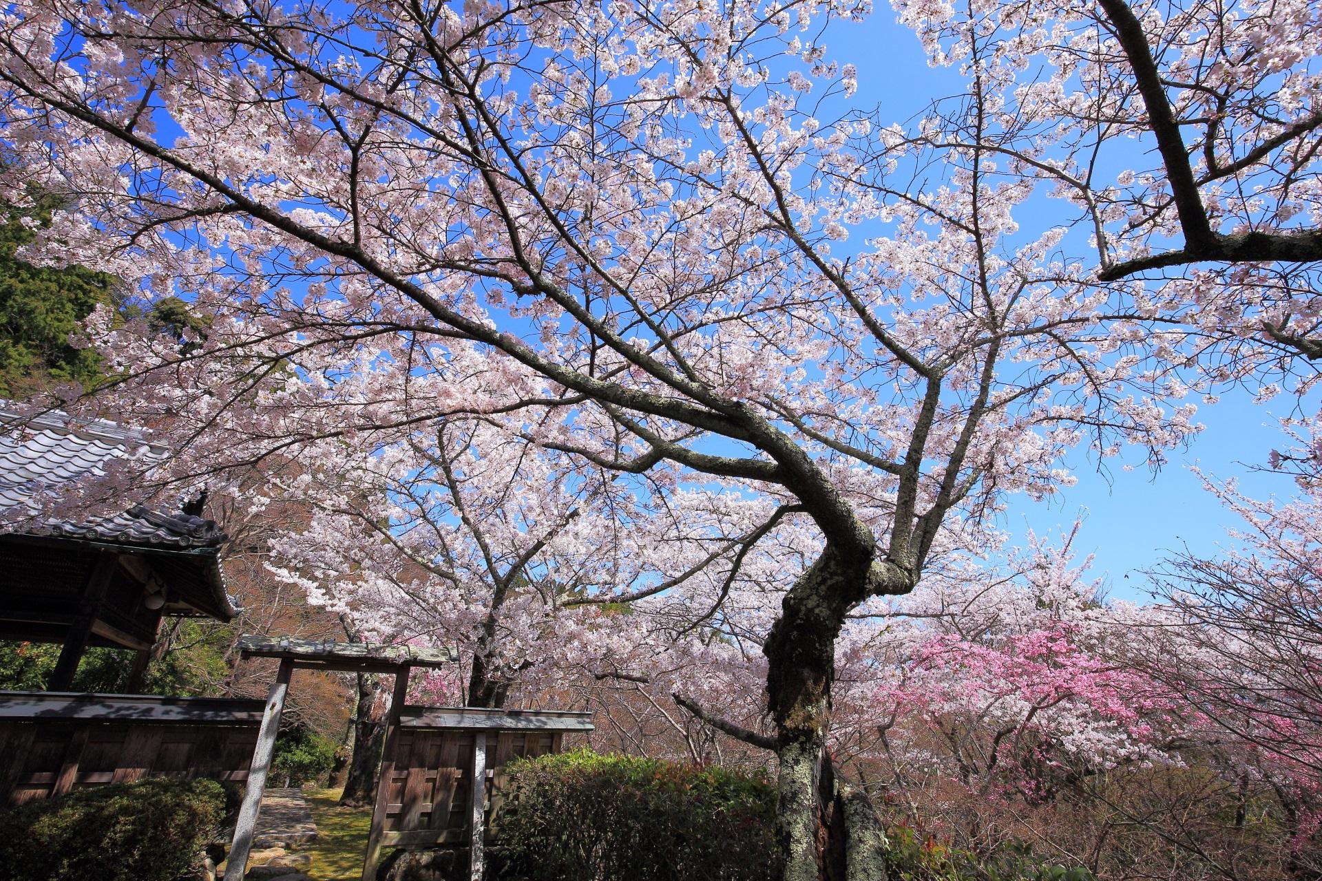 勝持寺の古風な雰囲気の漂う桜