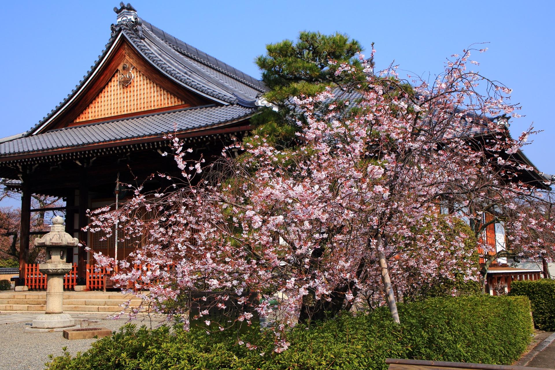 妙蓮寺の本堂前で咲き誇る御会式桜(おえしきざくら)