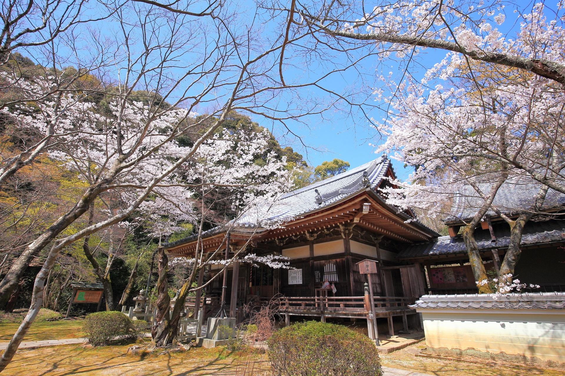 勝持寺の阿弥陀堂と瑠璃光堂前の桜