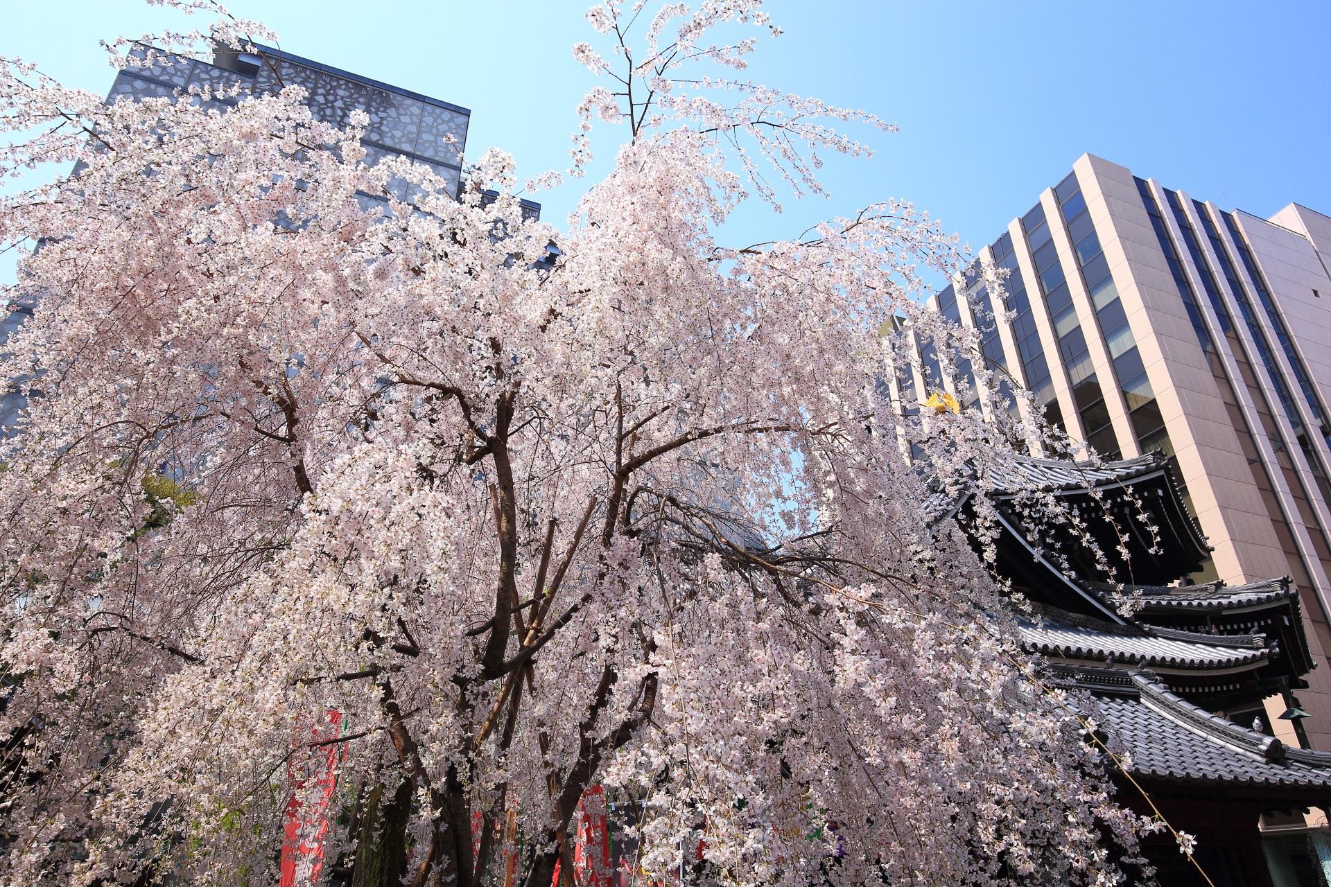 六角堂の六角形の本堂横の見事なしだれ桜