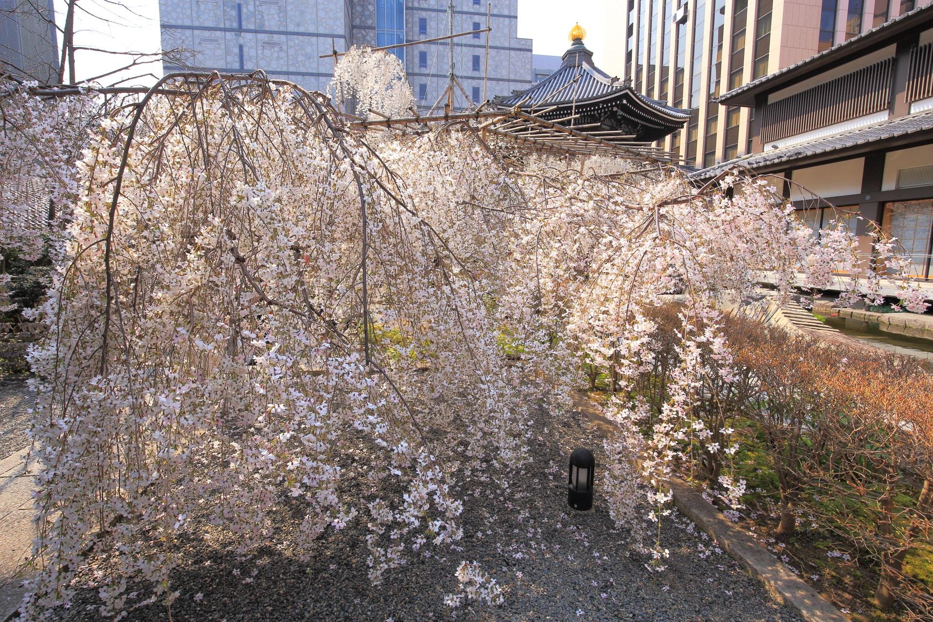 花の色が変わっていく六角堂の御幸桜