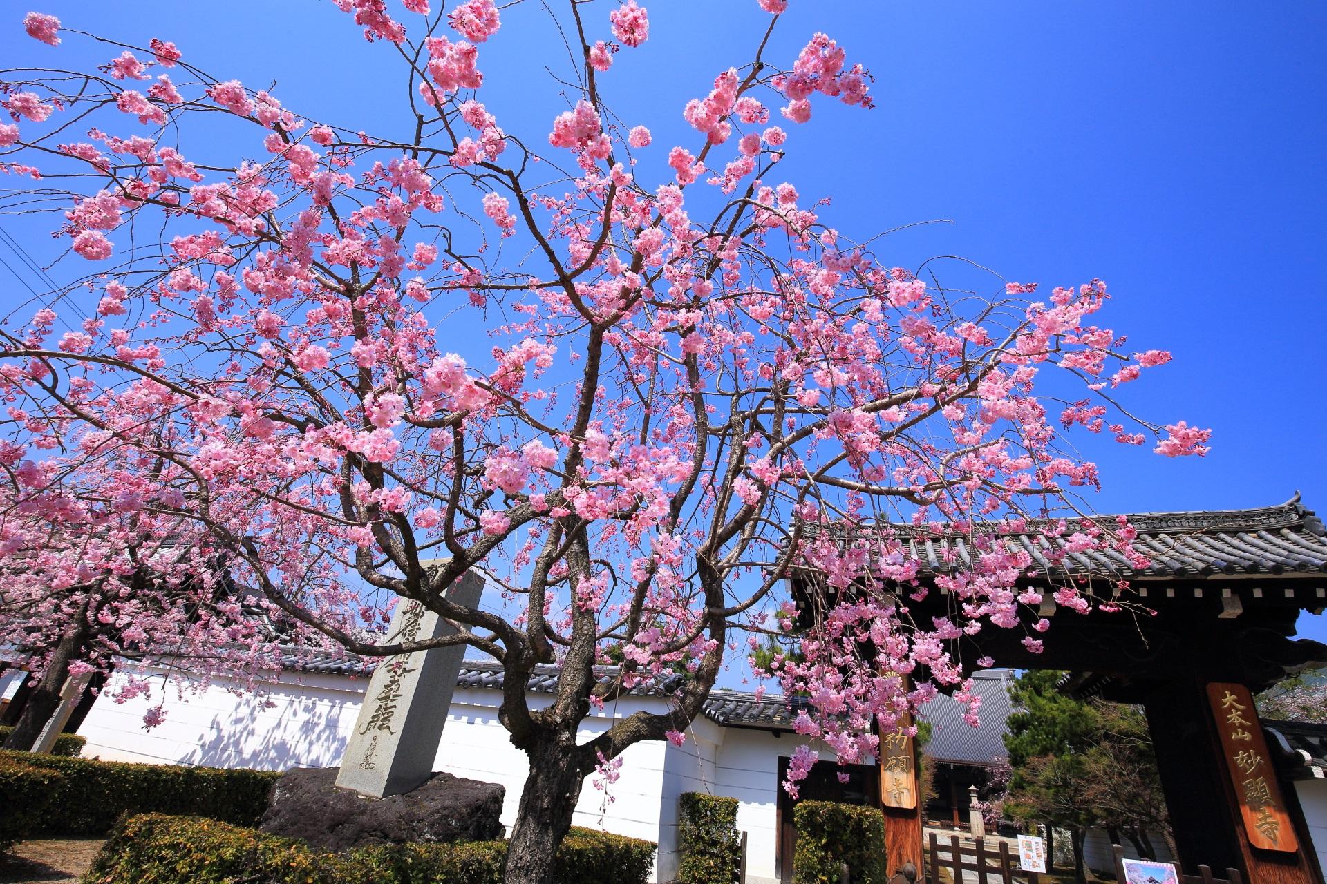 妙顕寺の青空から降り注ぐ華やかなピンクのしだれ桜