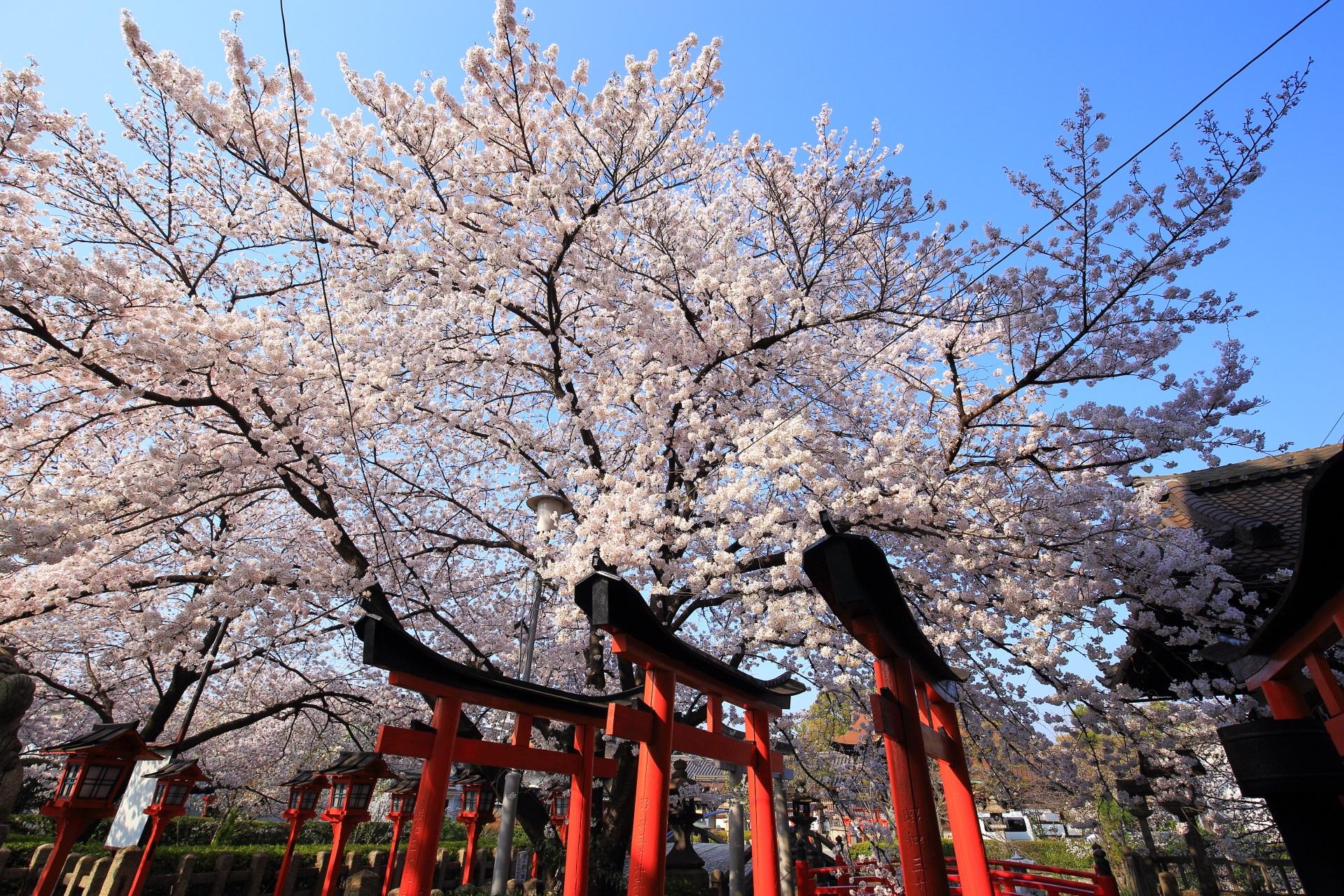 六孫王神社の青空に羽ばたくような優雅な桜