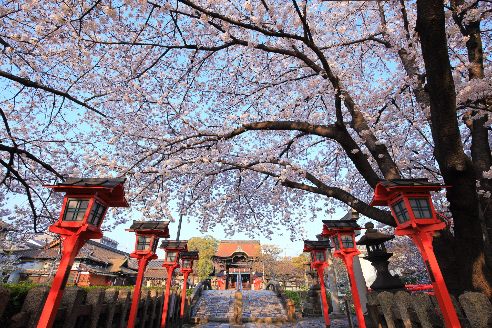 六孫王神社の鯉の架け橋(恋の架け橋)の桜