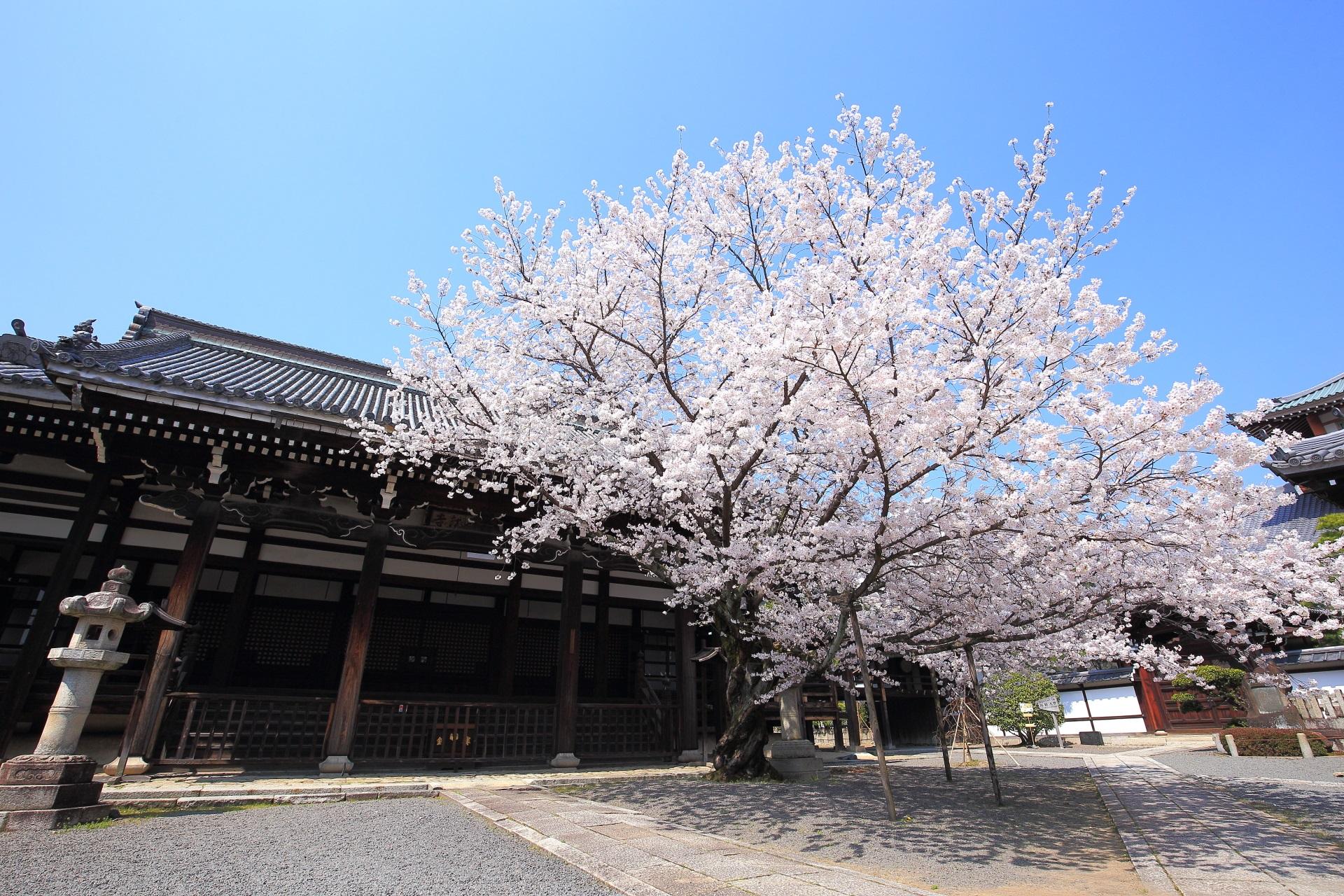 本法寺の本堂前の絵になる桜