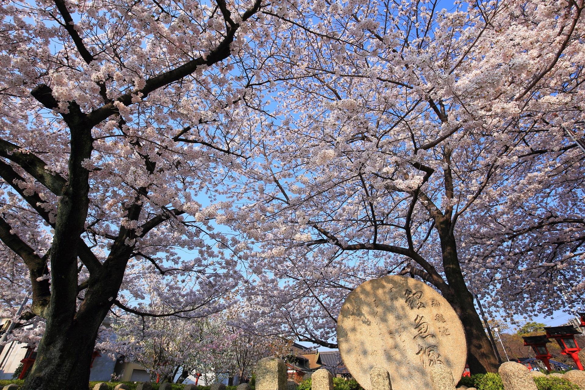 六孫王神社の鯉魚塚と桜