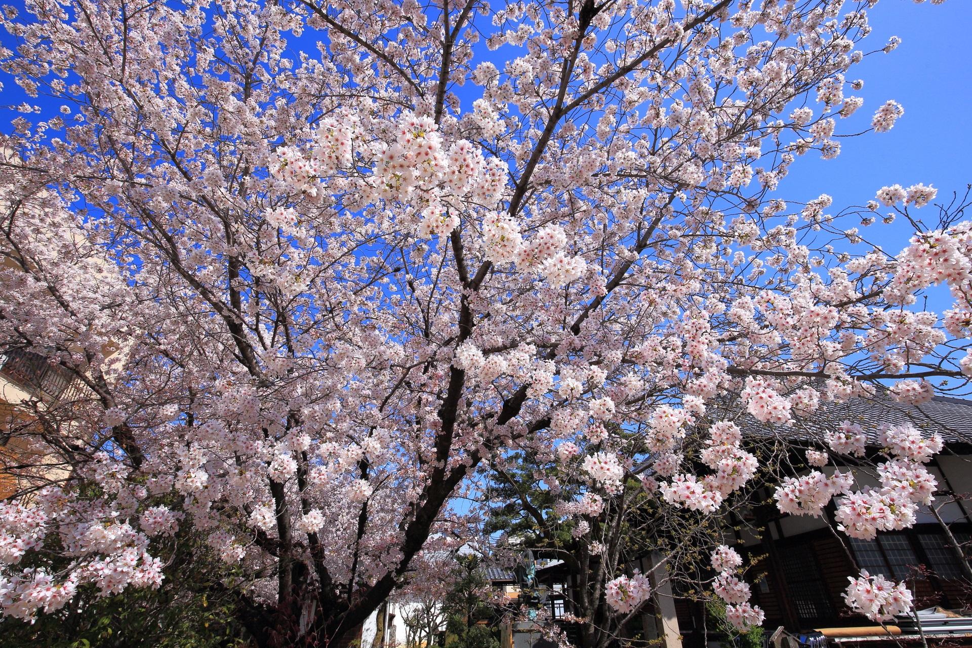 煌びやかな春色に染まる墨染寺