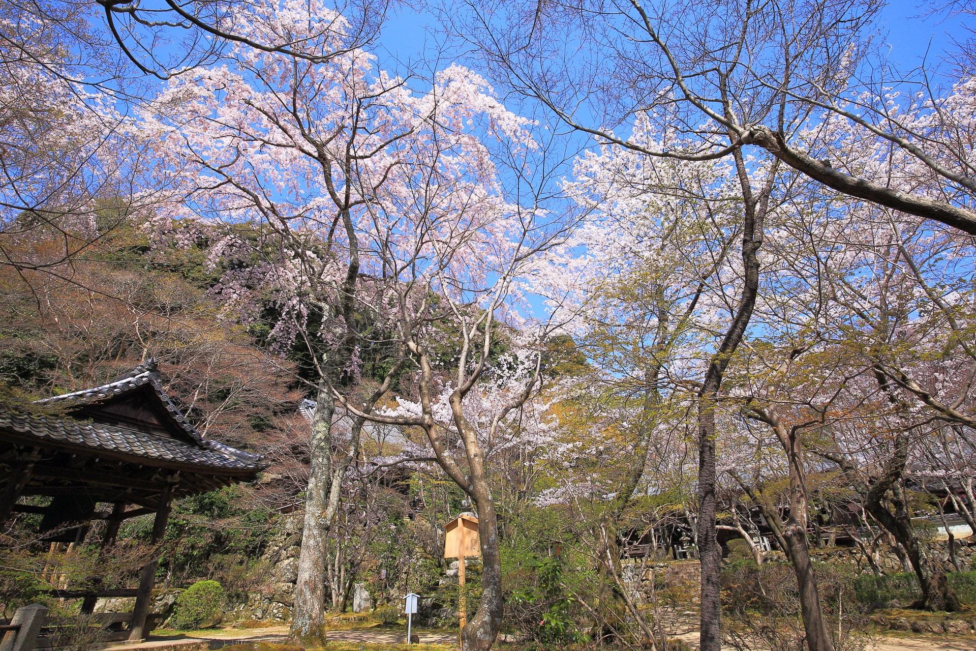 高画質 西行桜 勝持寺 写真