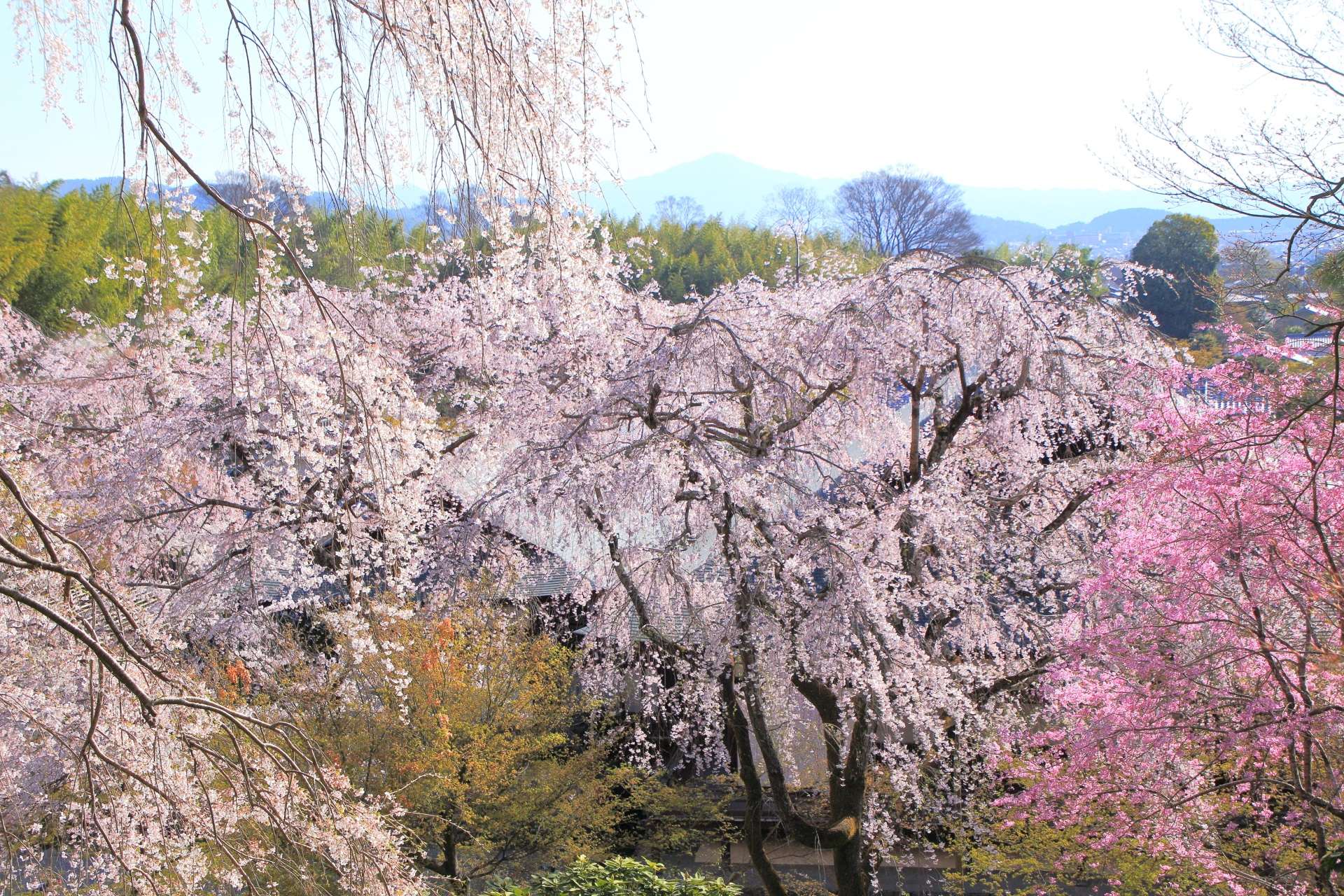 天龍寺の望京の丘から眺めた桜