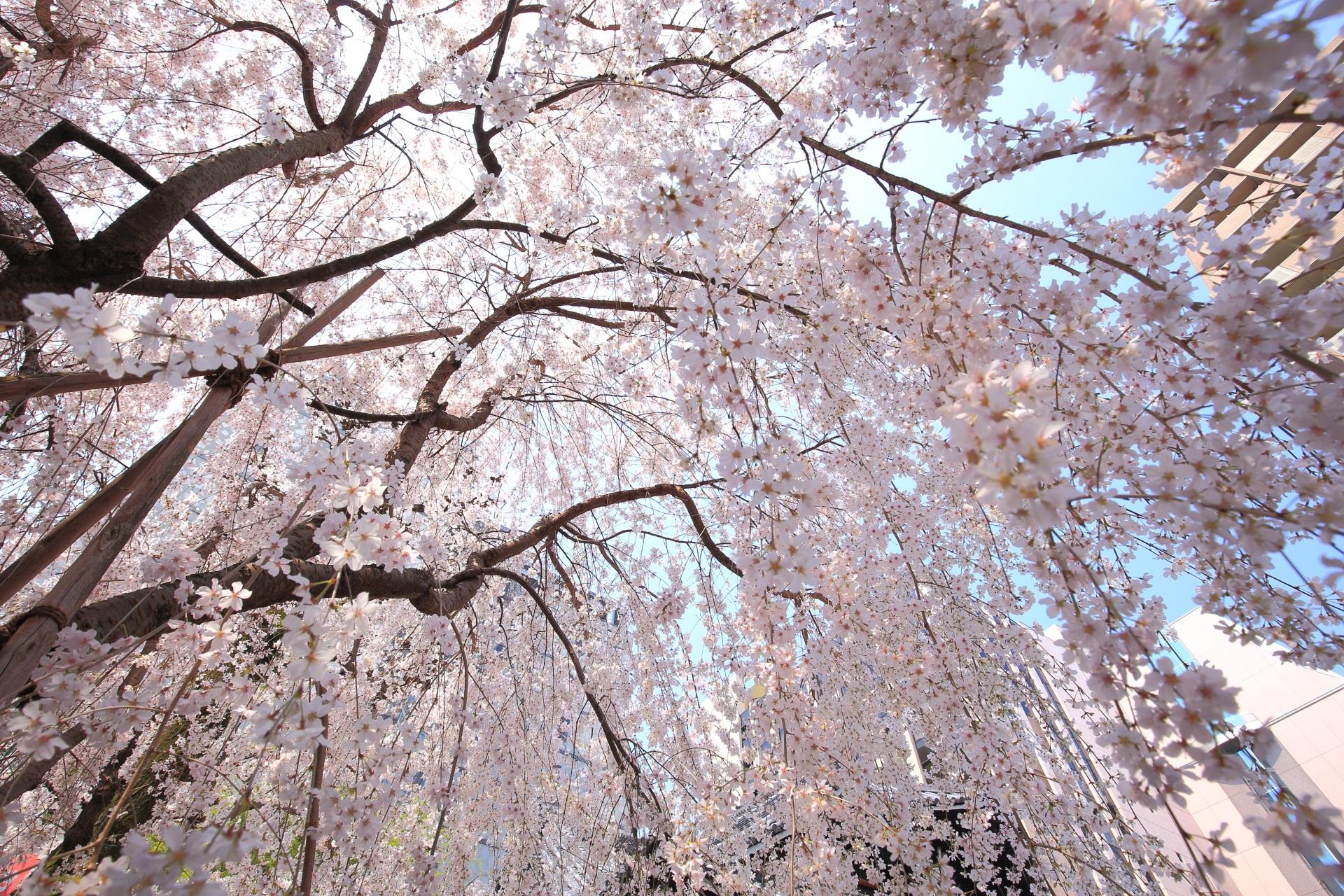 六角堂の快晴の空から降り注ぐしだれ桜