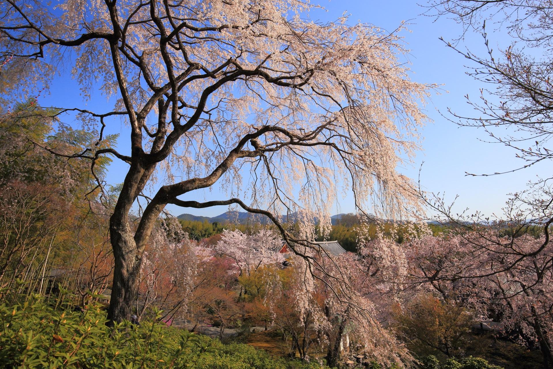 天龍寺の春の柔らかな日差しに照らされるしだれ桜