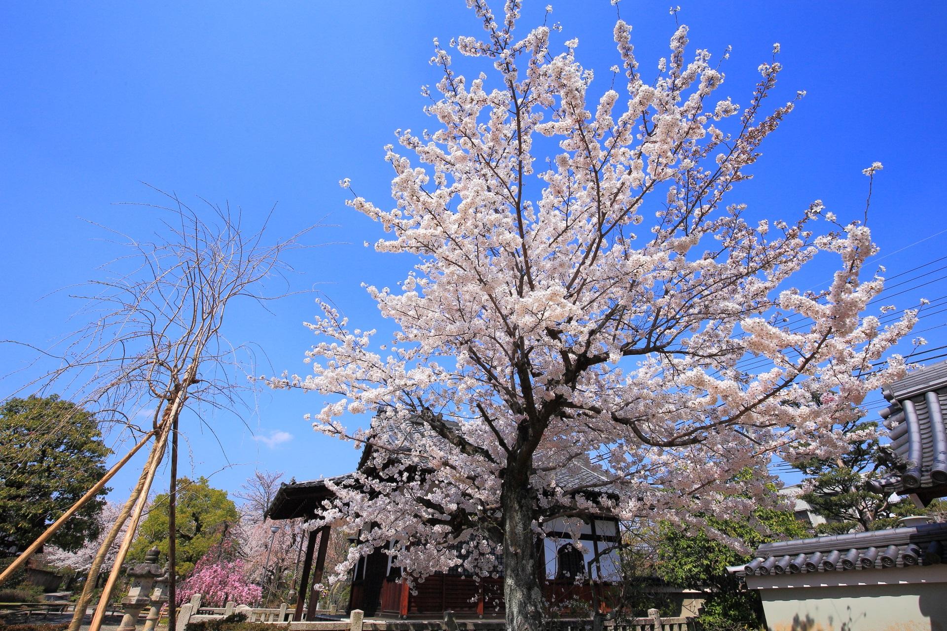 上品蓮台寺の咲き乱れる桜