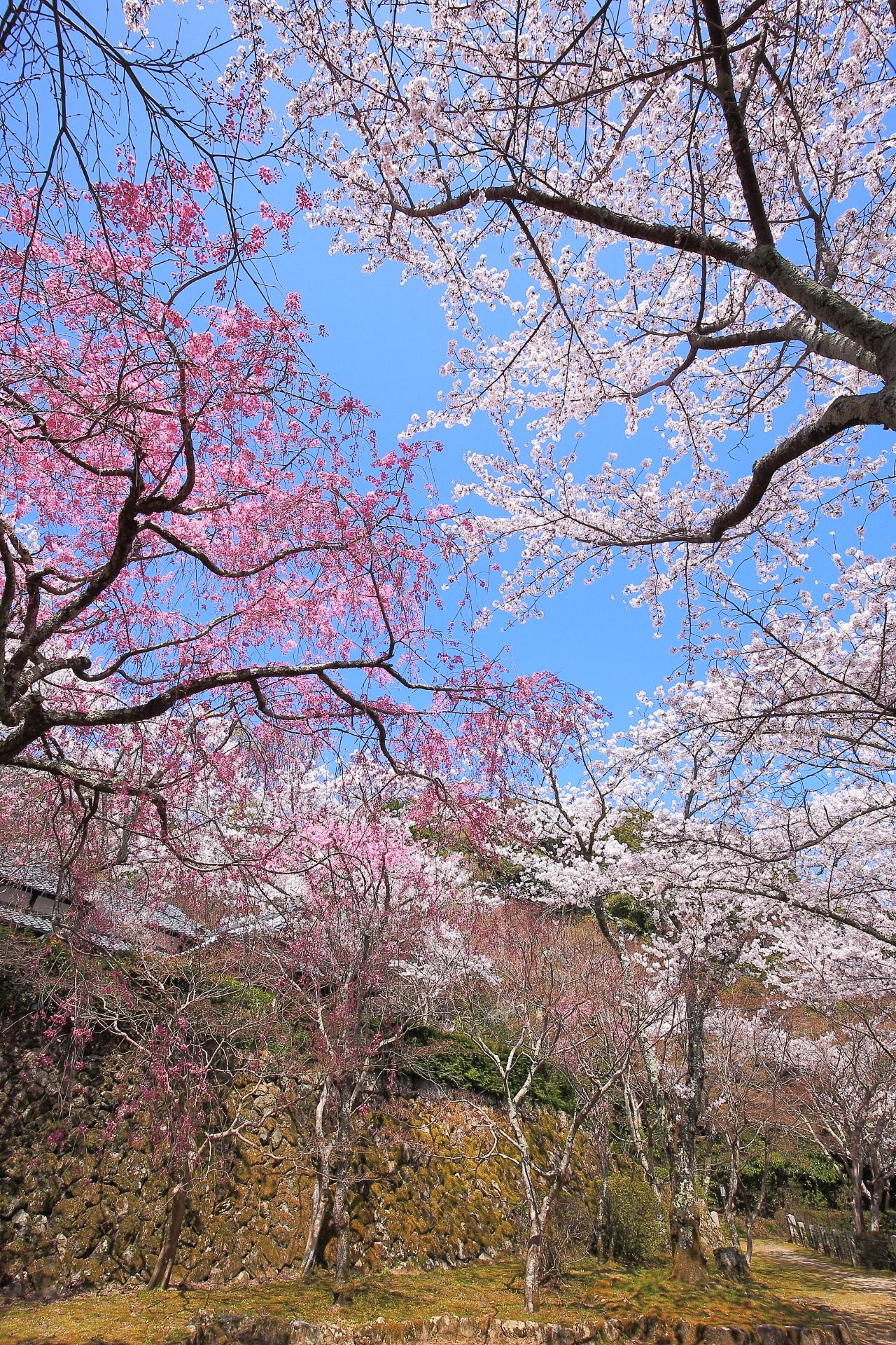 勝持寺の素晴らしい桜や春の情景