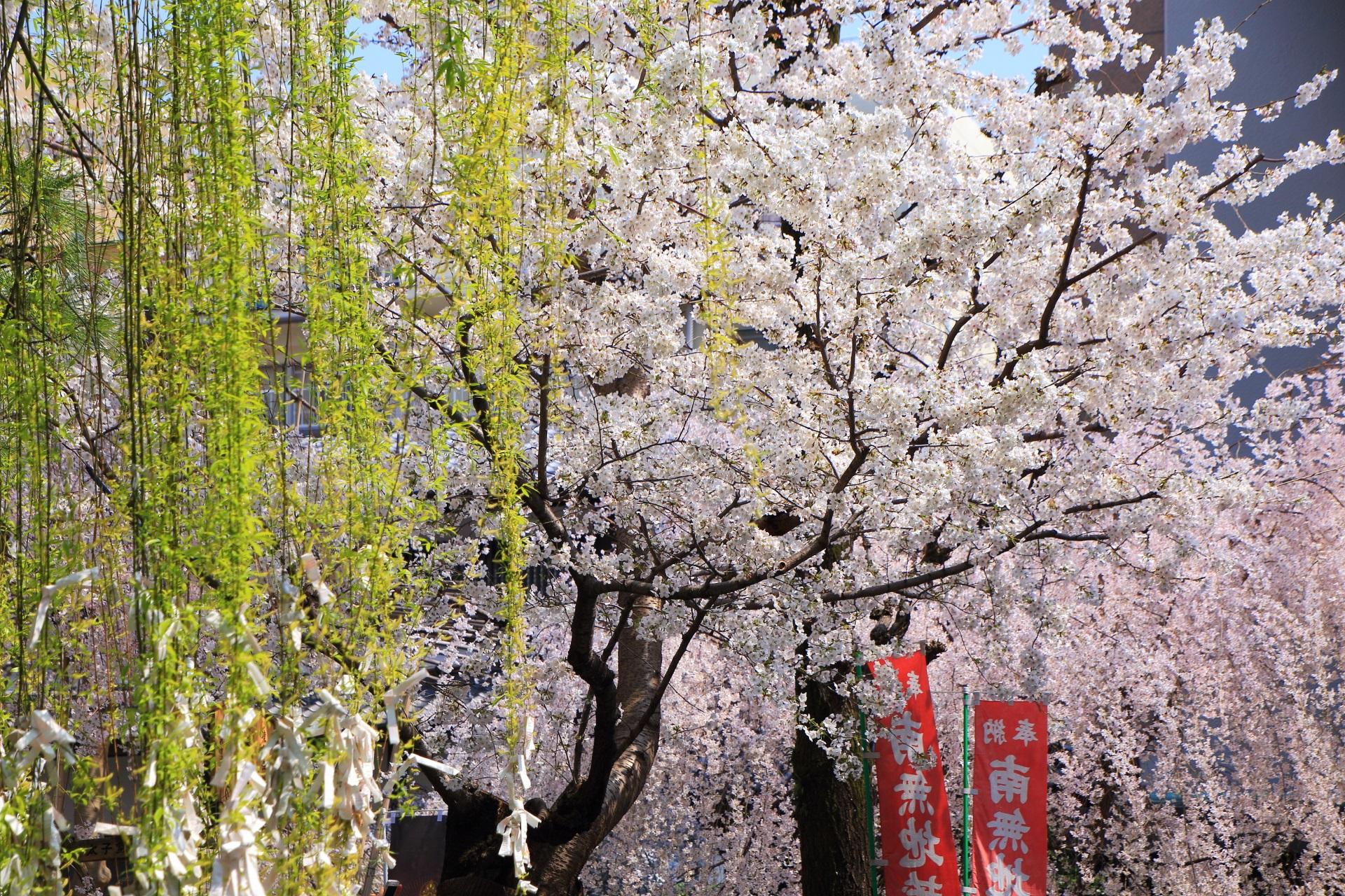 六角堂の新緑の柳と満開の桜