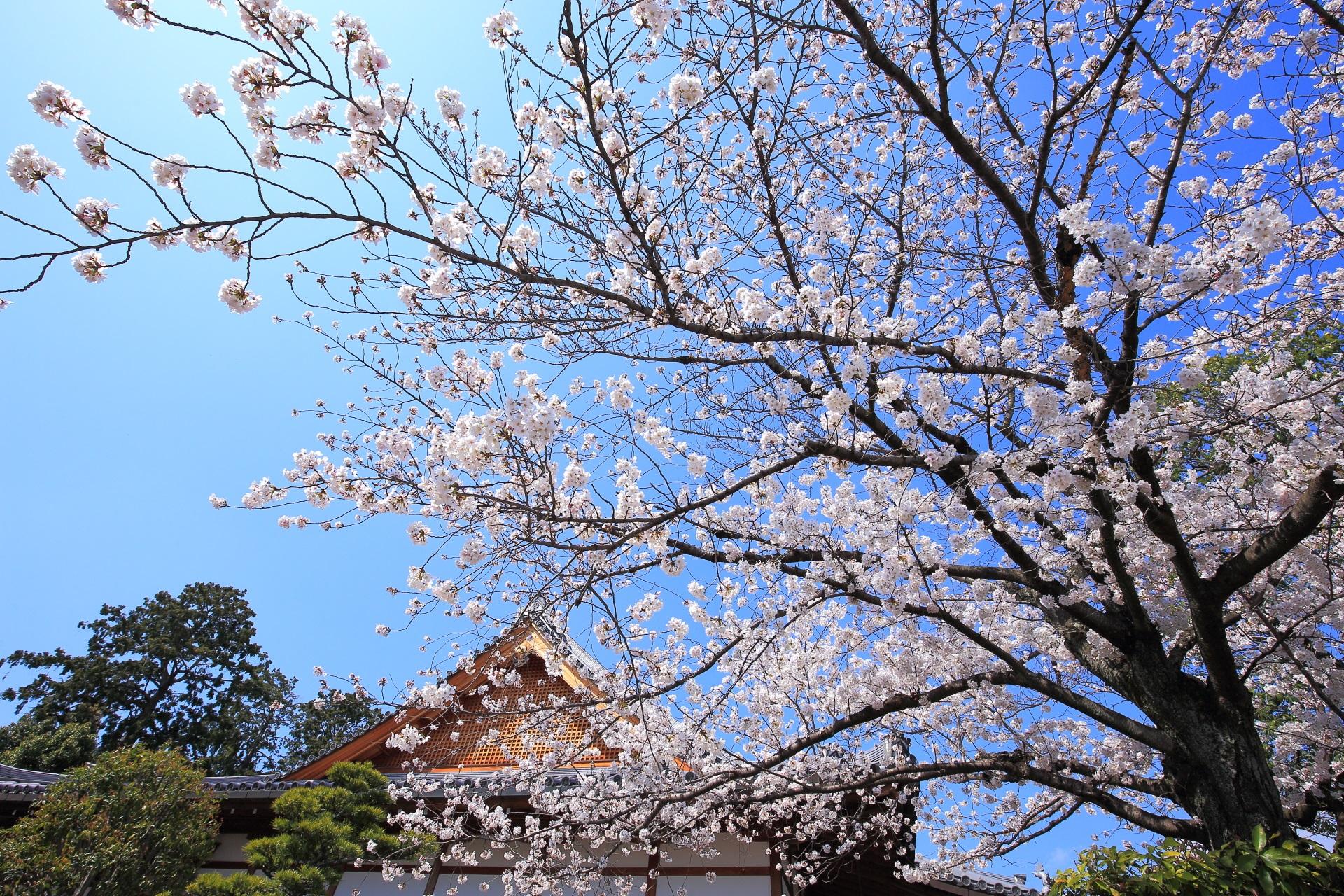 上品蓮台寺の伽藍を背景にした絵になる桜
