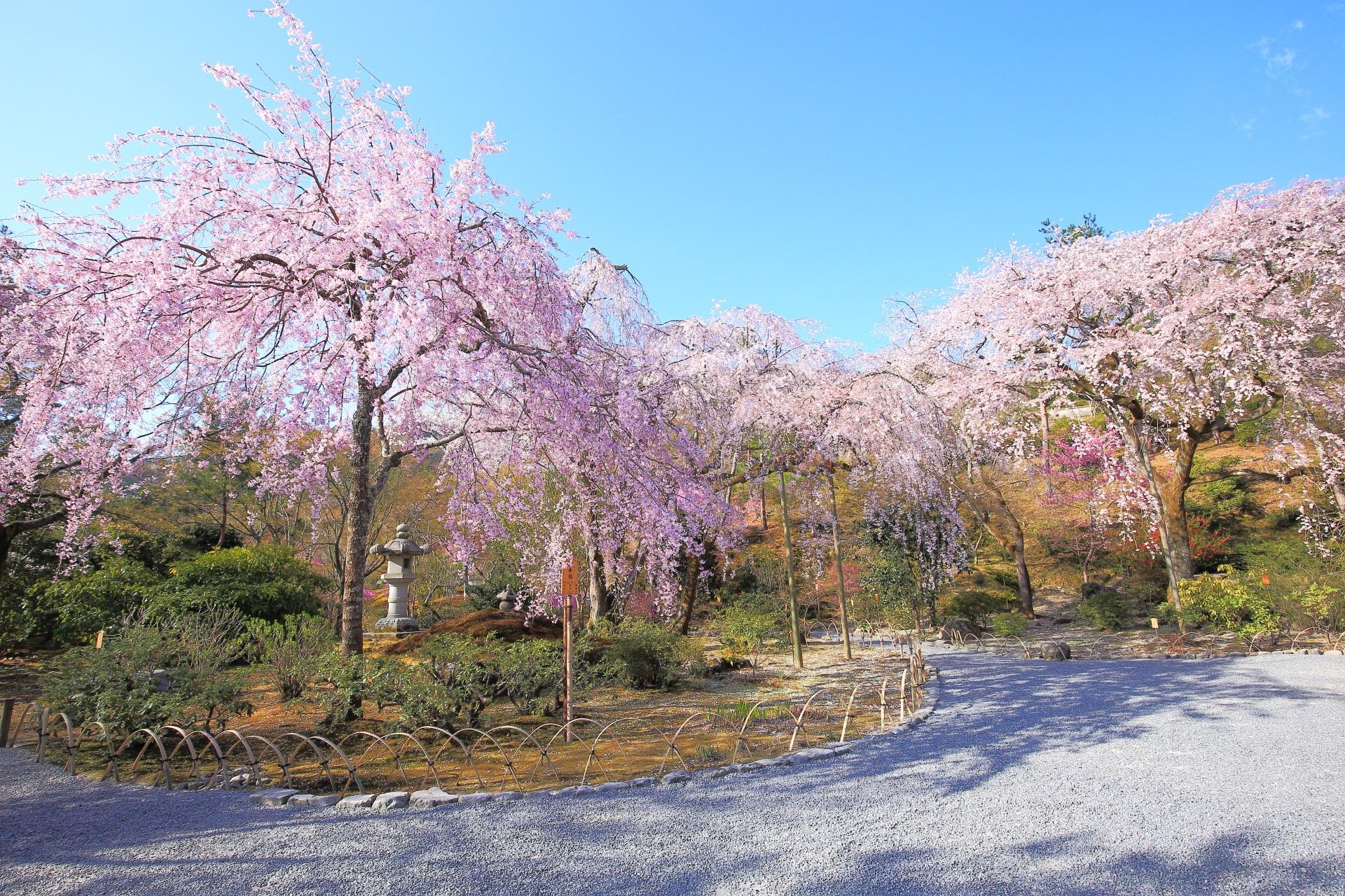 天龍寺の多宝殿前の咲き誇る桜