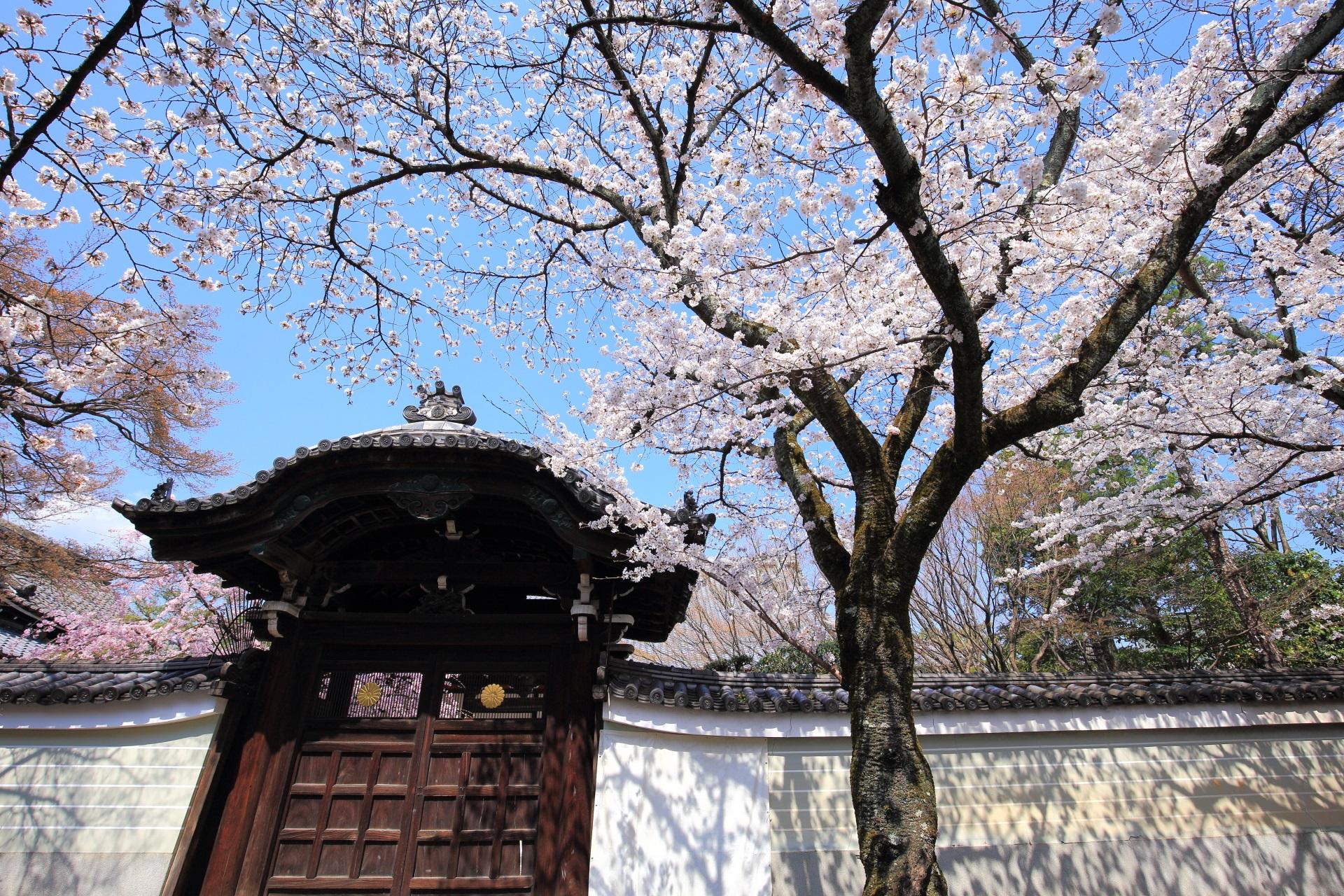 妙顕寺の勅使門前の桜