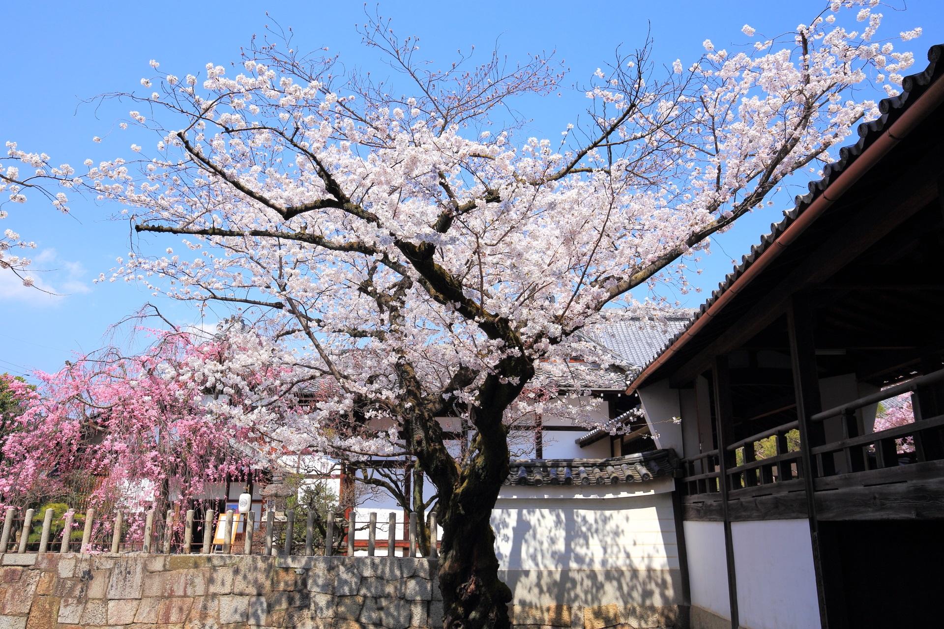 妙顕寺の太陽を浴びて華やぐ桜