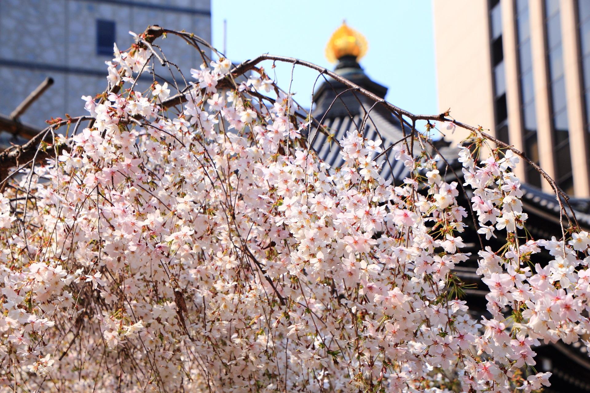 六角堂の本堂を背景にした華やかな御幸桜