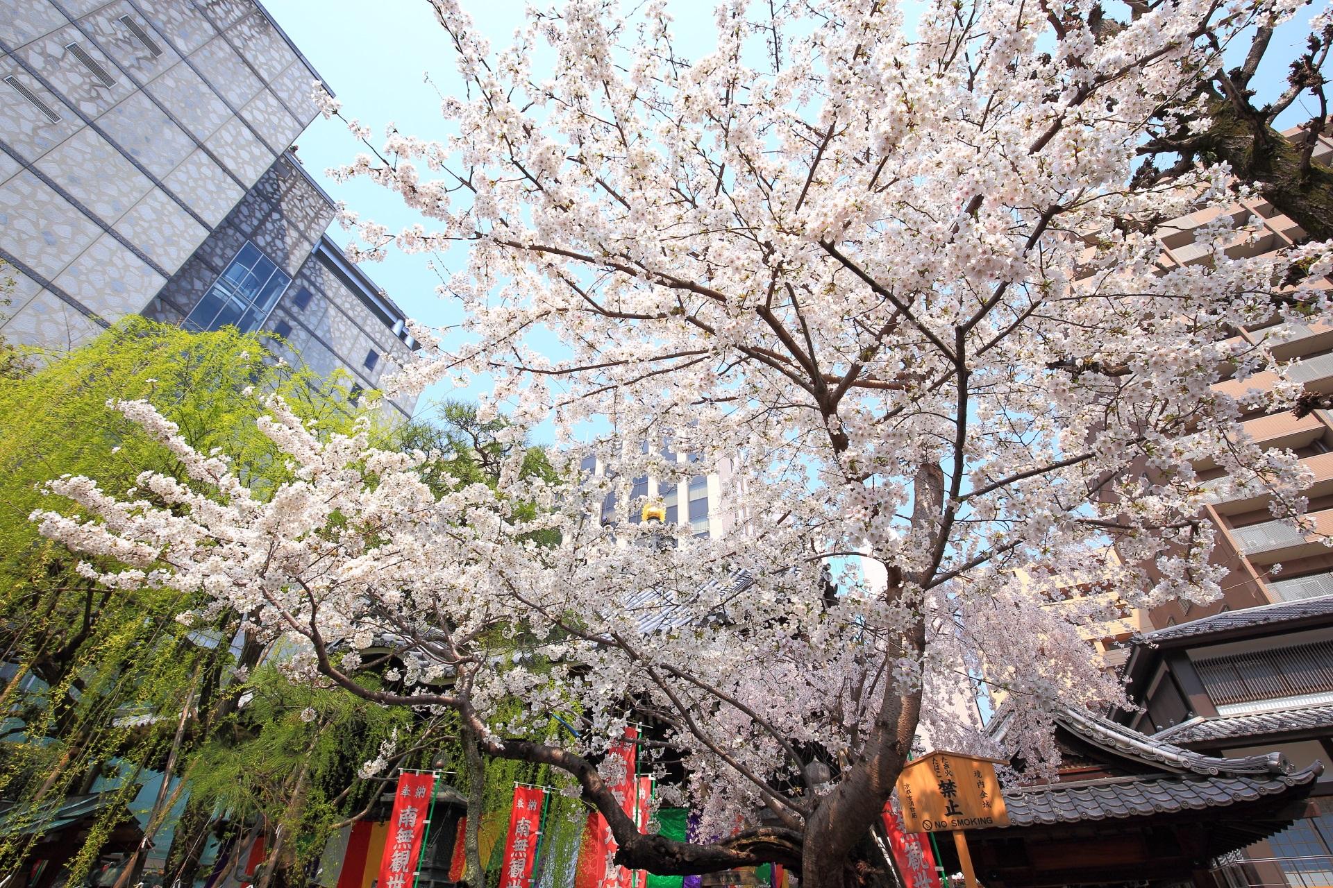 六角堂の本堂横の柳と桜のコラボ