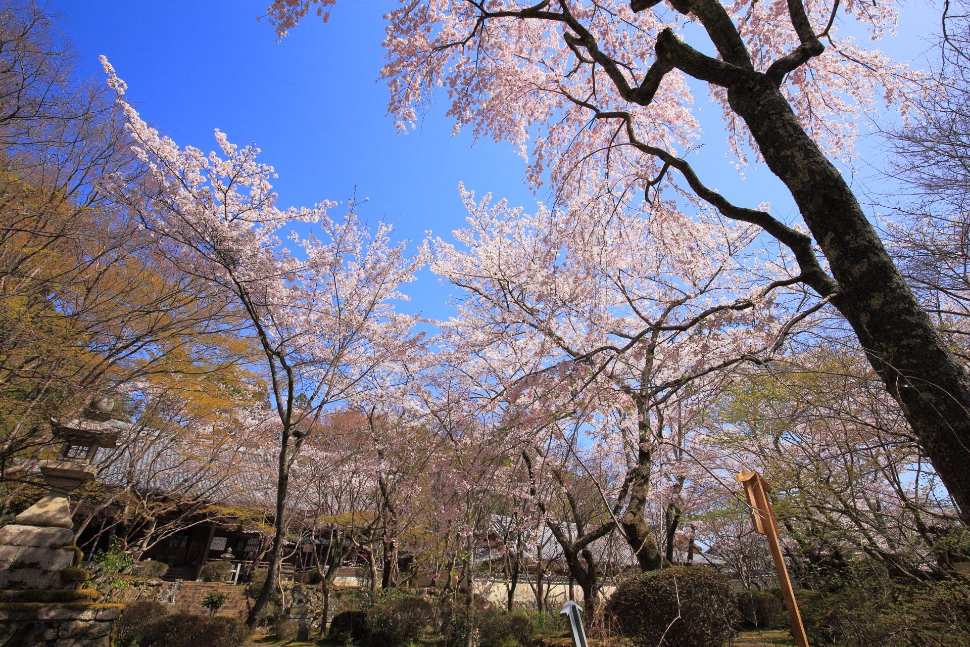 青空から降り注ぐ西行桜と阿弥陀堂や瑠璃光堂