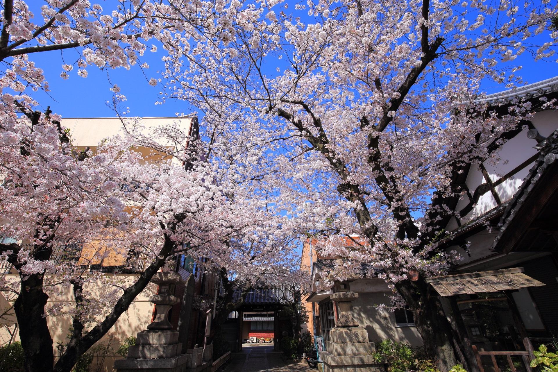 京都伏見の隠れた桜の名所の墨染寺