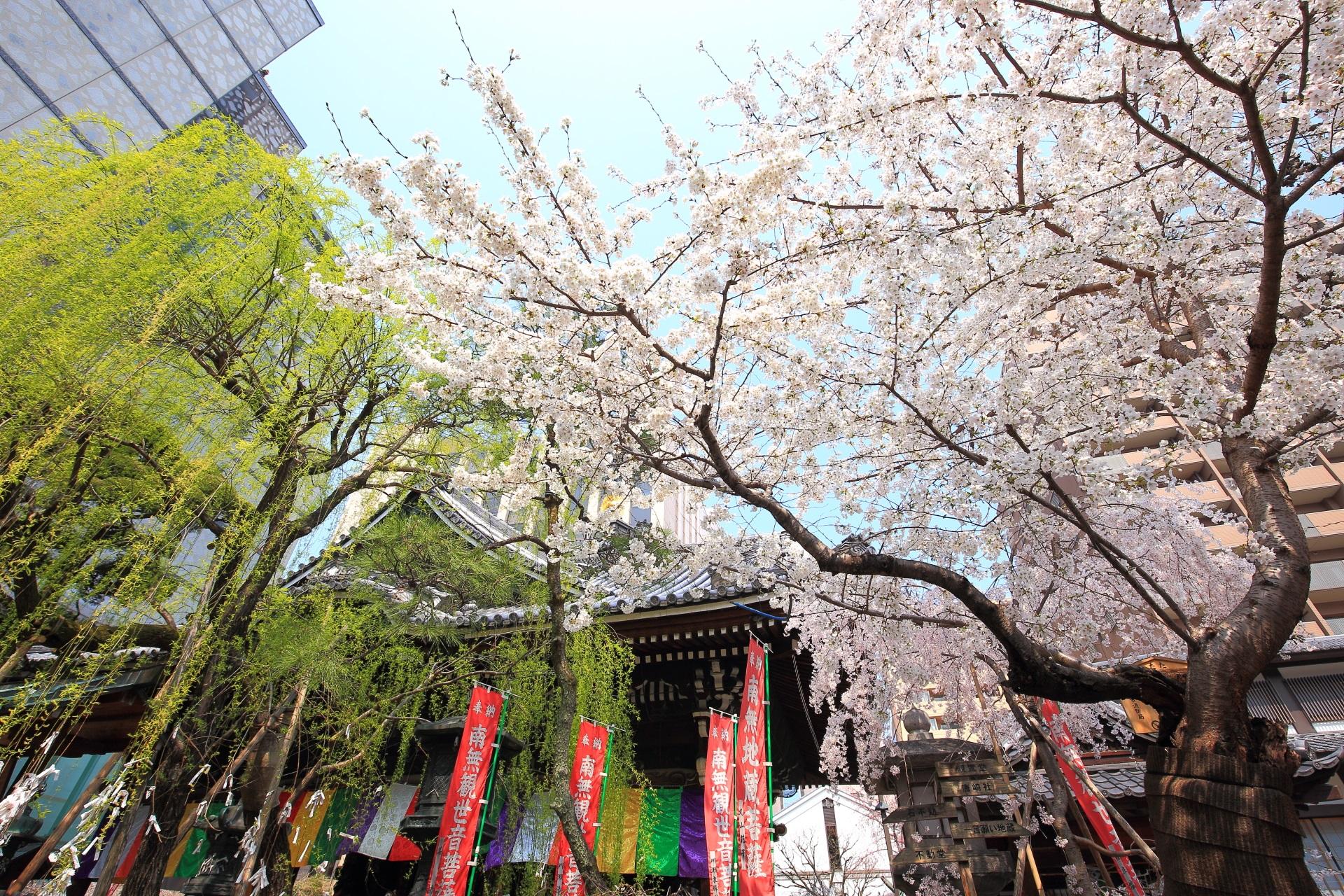 六角堂の素晴らしい桜と柳や春の情景