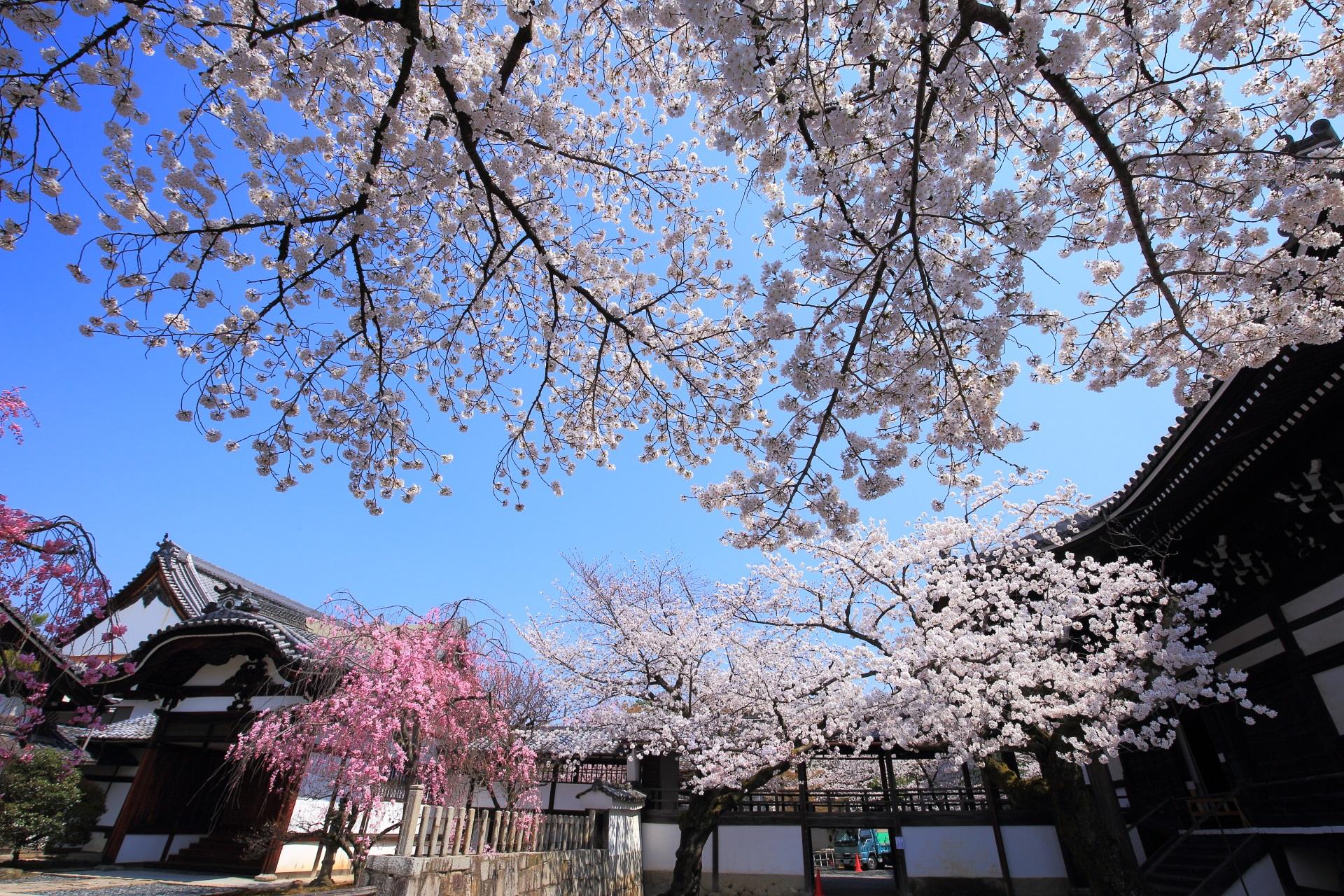 妙顕寺の大本堂と大玄関の間の桜