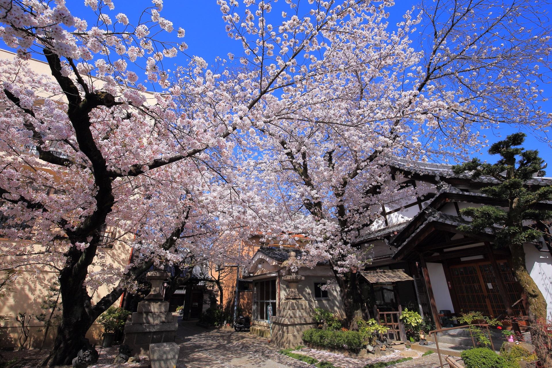 高画質 墨染寺 桜 写真