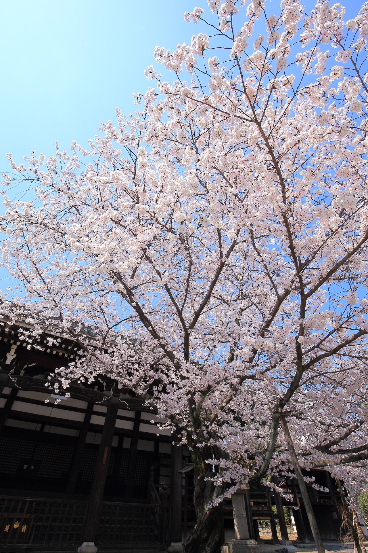 本法寺の枝を大きく伸ばす圧巻の桜