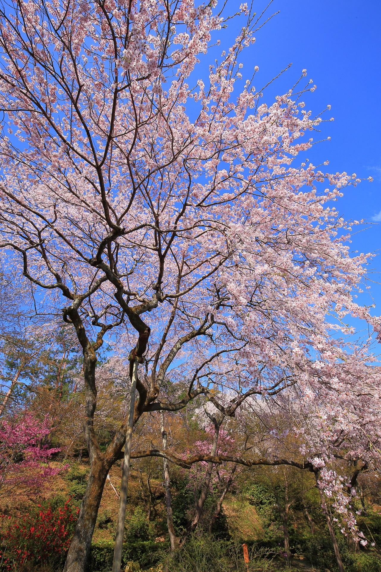 天龍寺の豪快かつ上品に青空を染めるしだれ桜