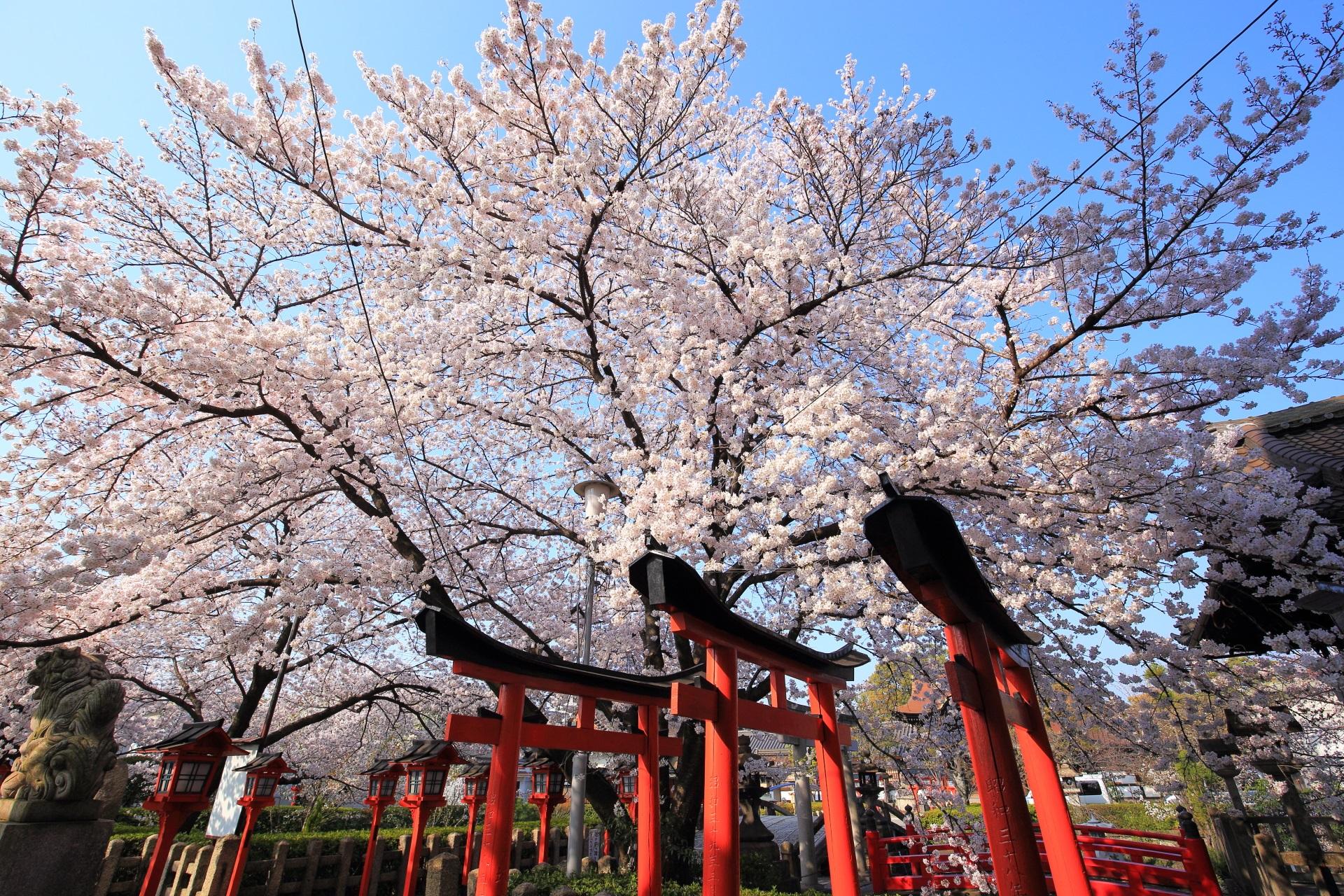 六孫王神社の赤い鳥居の上で華やぐ絶品の桜