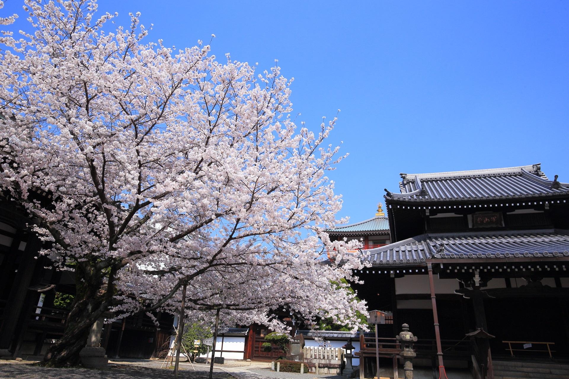 本法寺の開山堂と宝物館と桜