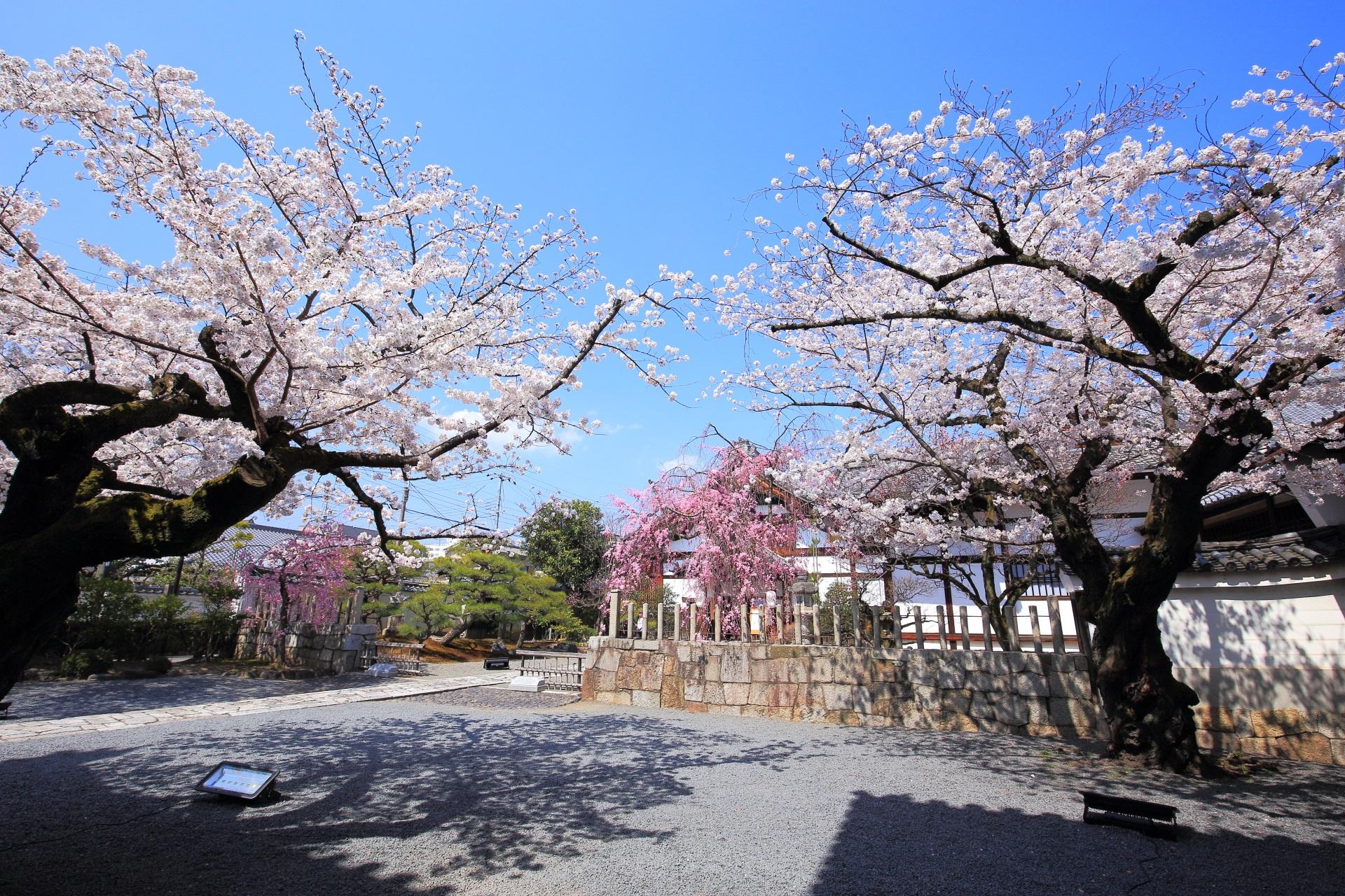 街中にある隠れた桜の名所の妙顕寺