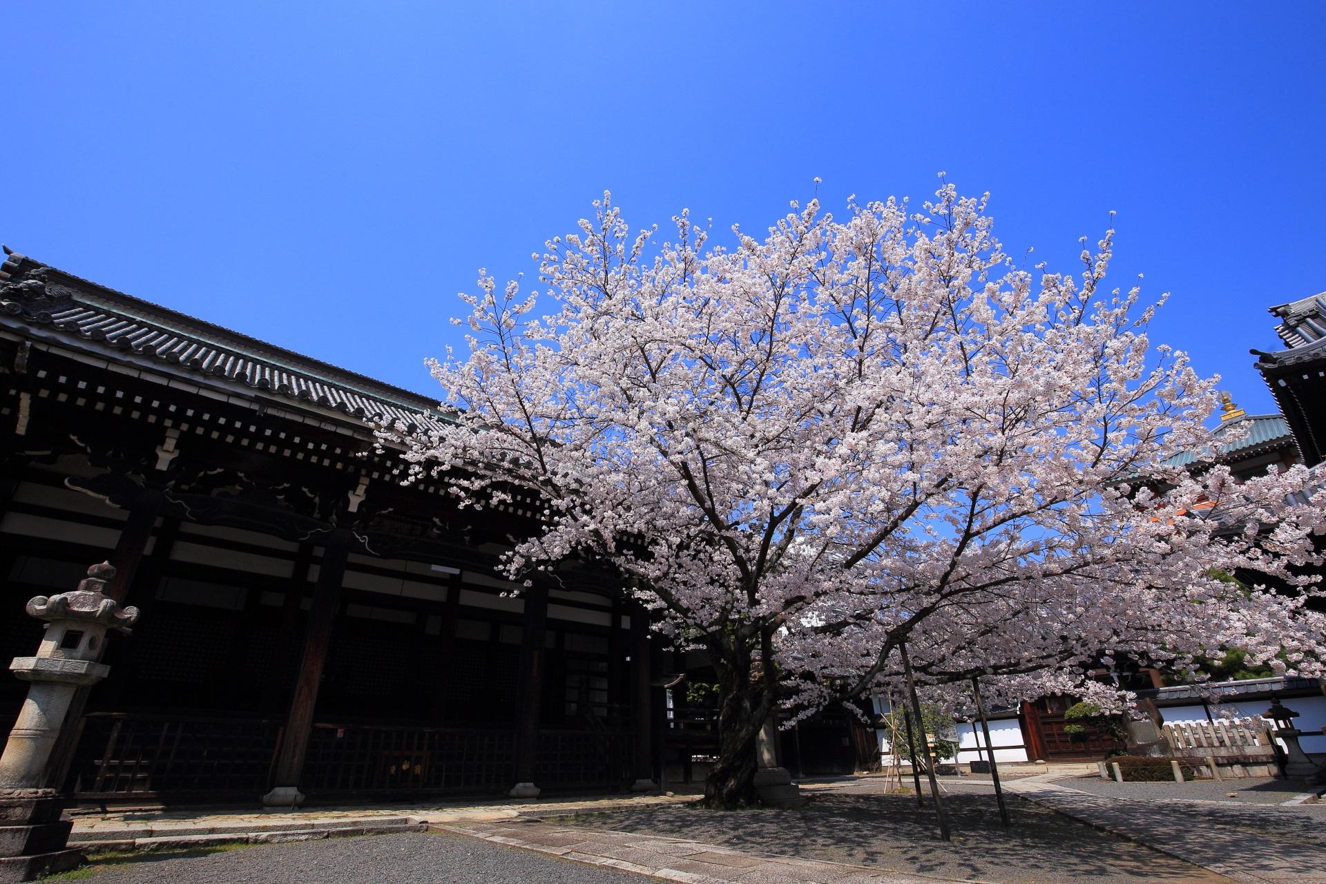 本法寺の青空に映える華やかな桜