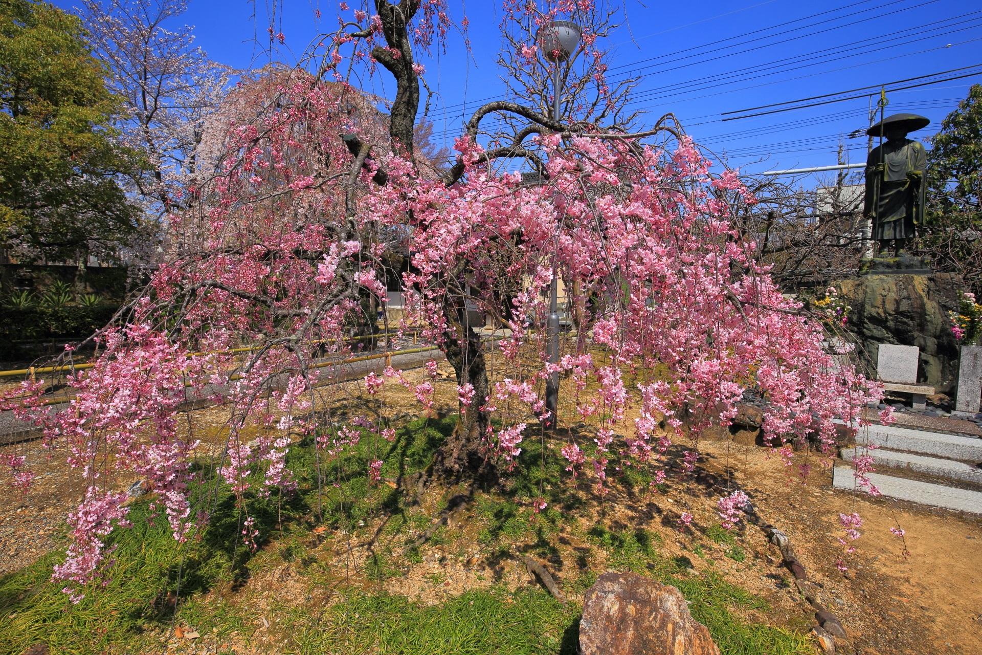 上品蓮台寺の華やかなピンクのしだれ桜