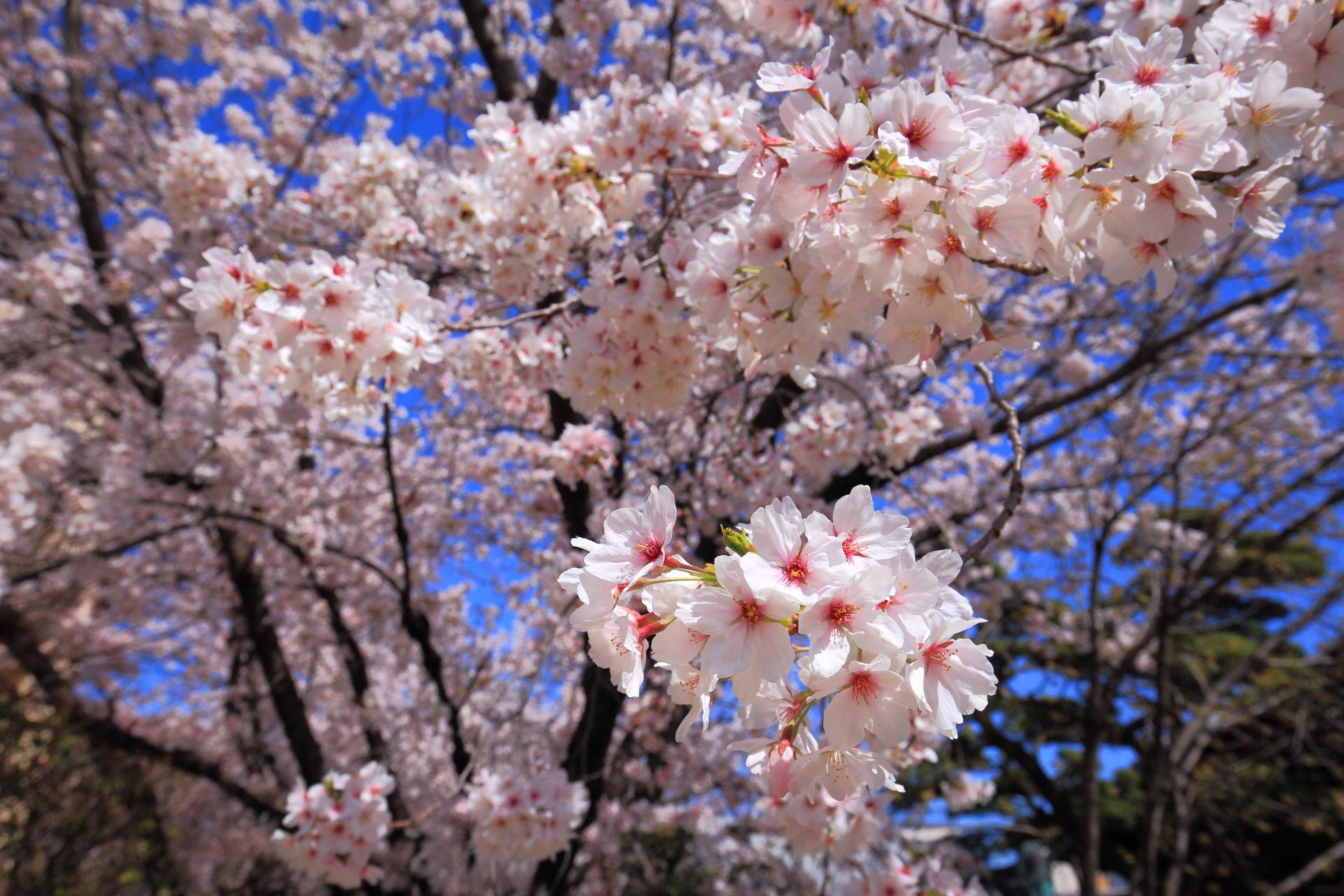 墨染寺の花をいっぱいにつけて咲く墨染桜