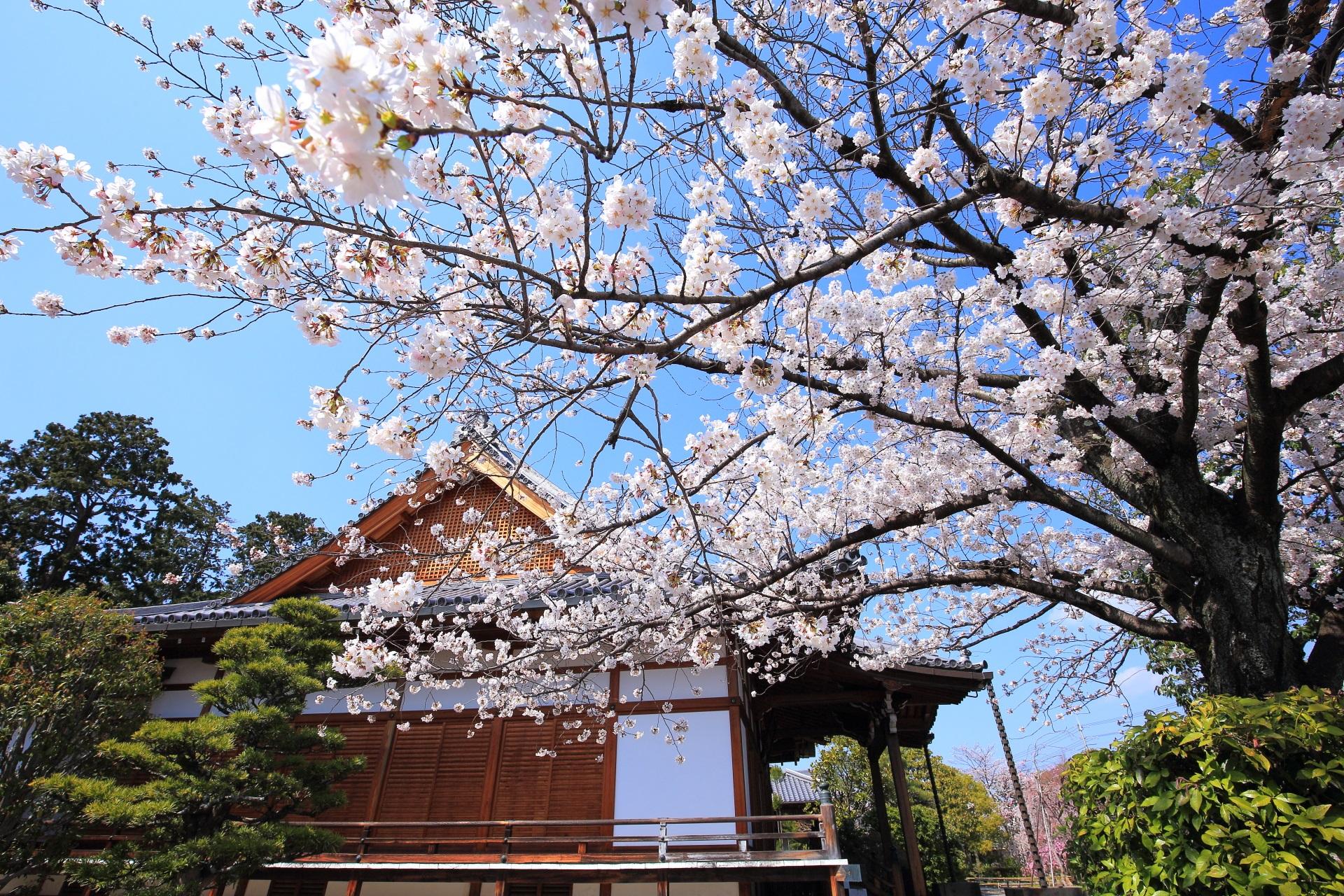上品蓮台寺の春を賑やかに彩る桜