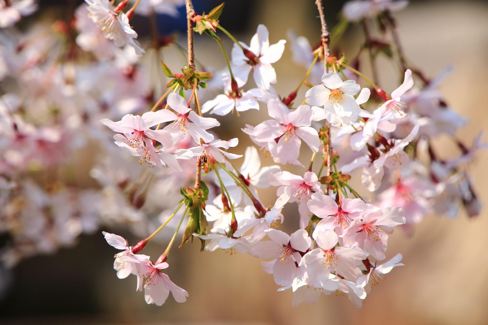 六角堂の日を浴びてほのかに光るような御幸桜